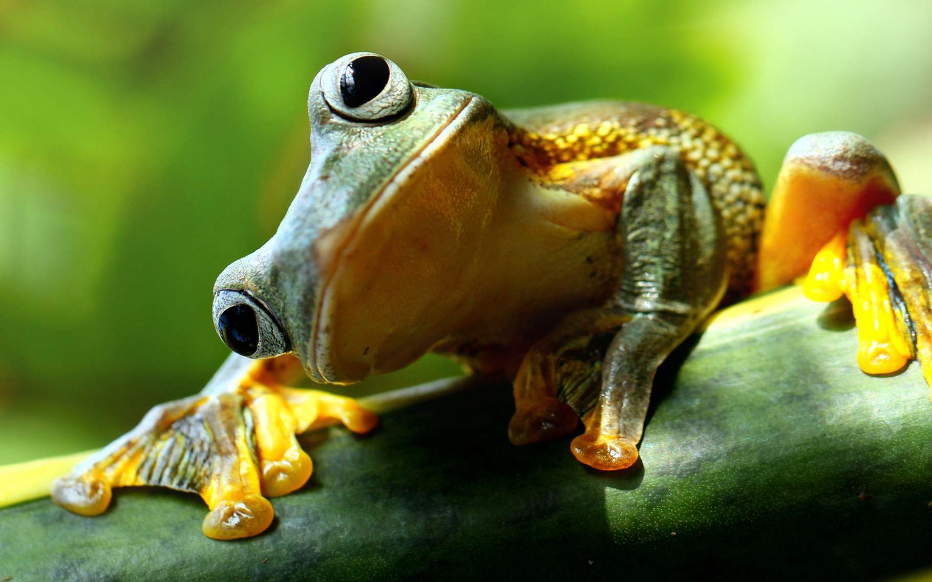 Les amphibiens sont particulièrement touchés par la déforestation, la pollution, l'artificialisation des sols… © fotolia