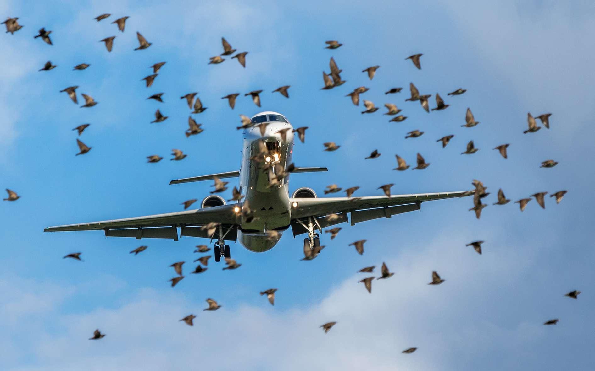 Les groupes d'oiseaux qui croisent la route des avions représentent un grand danger. © Sébastien Delaunay, Fotolia