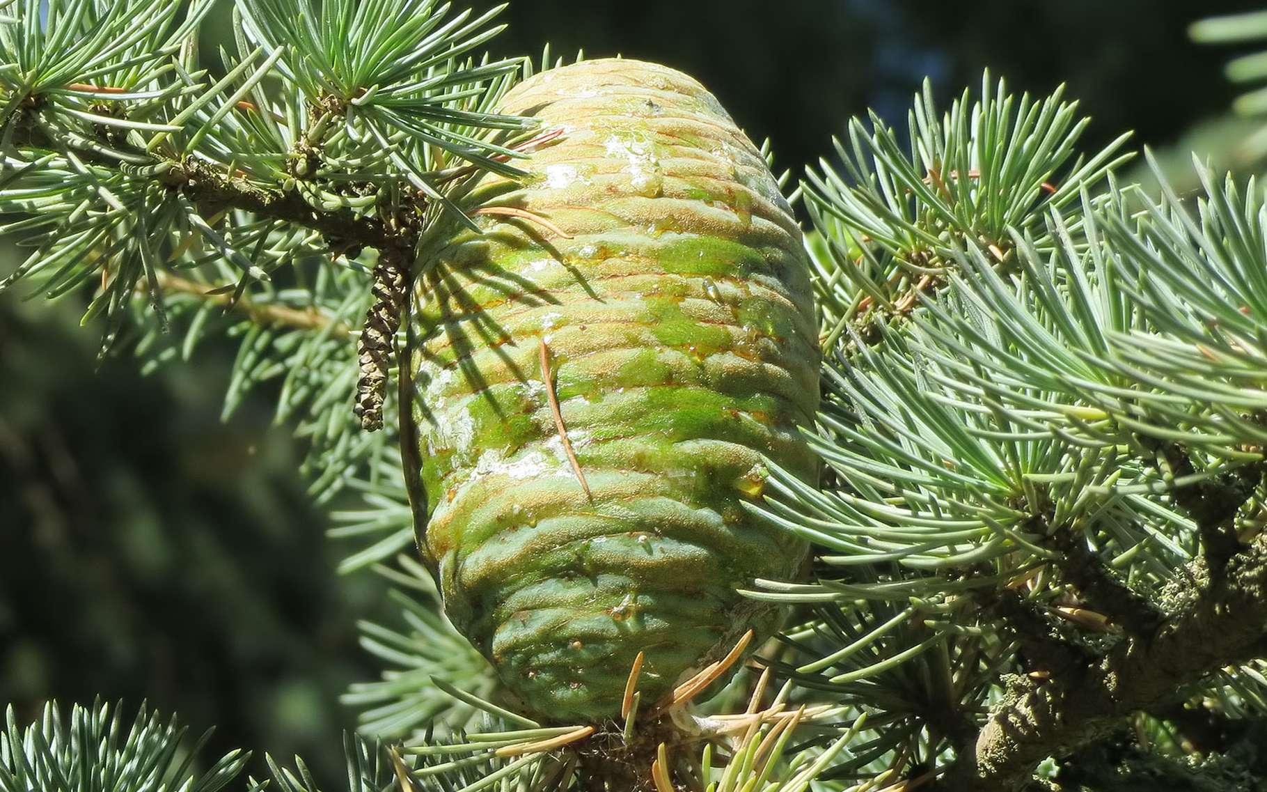 Le cèdre de l'Himalaya appartient à la famille des pinacées. © maggie and her camera, Flickr CC by nc 2.0