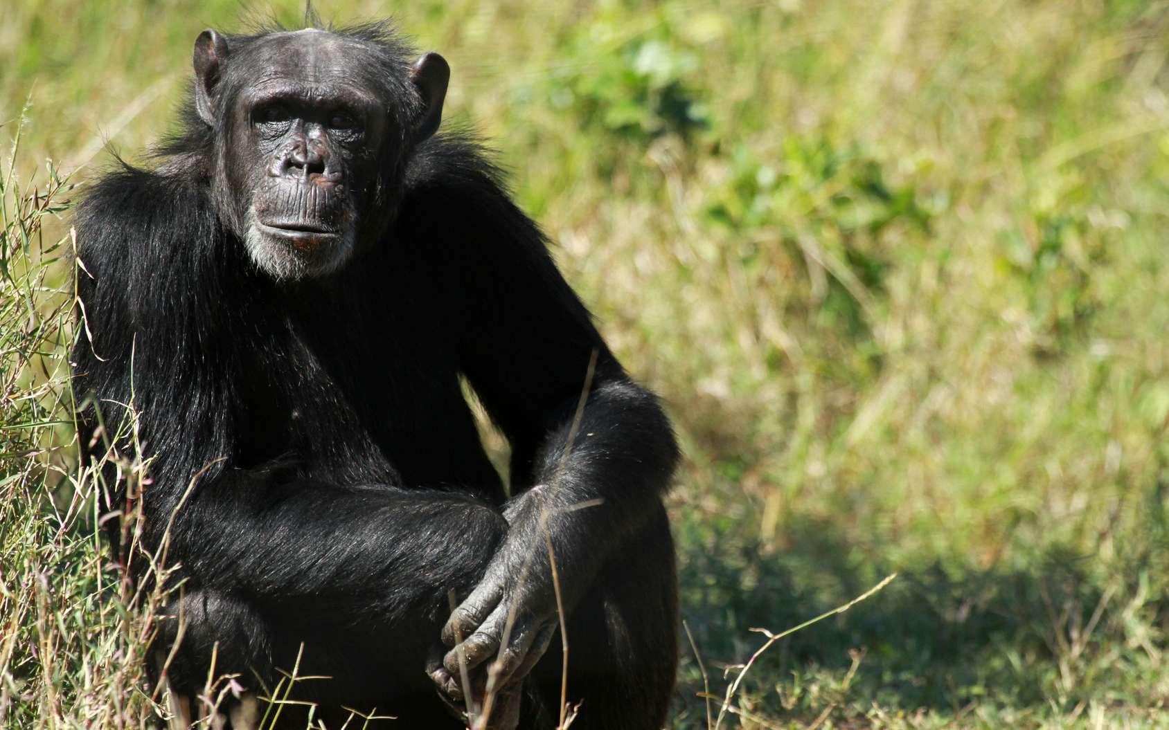 Hominines et panines (autrement dit les Hommes, les chimpanzés et les bonobos) sont membres de la sous-famille des homininés. Ils partagent 98,7 % de leur ADN. © bayazed, Fotolia
