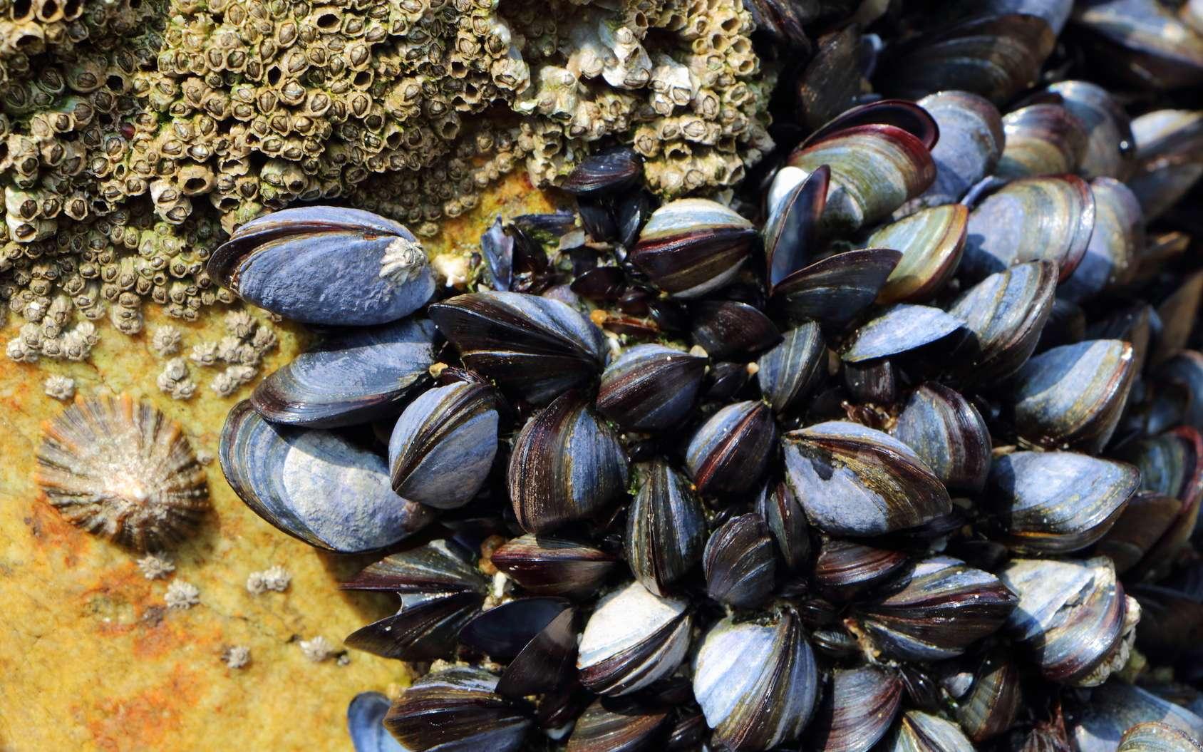 Les moules aideraient à lutter contre la pollution. © Oceane2508, Fotolia