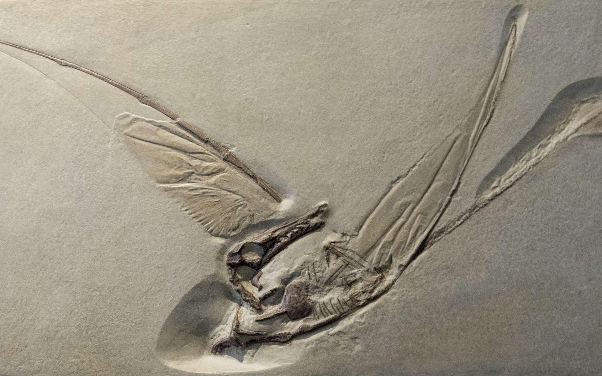 Les fossiles de ptérosaures sont rares. Il s'agit ici de celui de Rhamphorhynchus, qui date du Jurassique. © Wollwerth Imagery, Adobe Stock