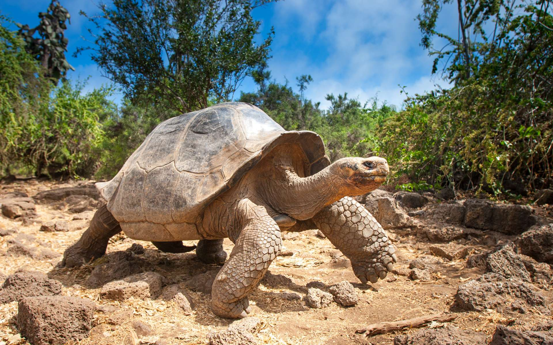 Tortue ivoire aux Galapagos. © Grispb, Adobe Stock