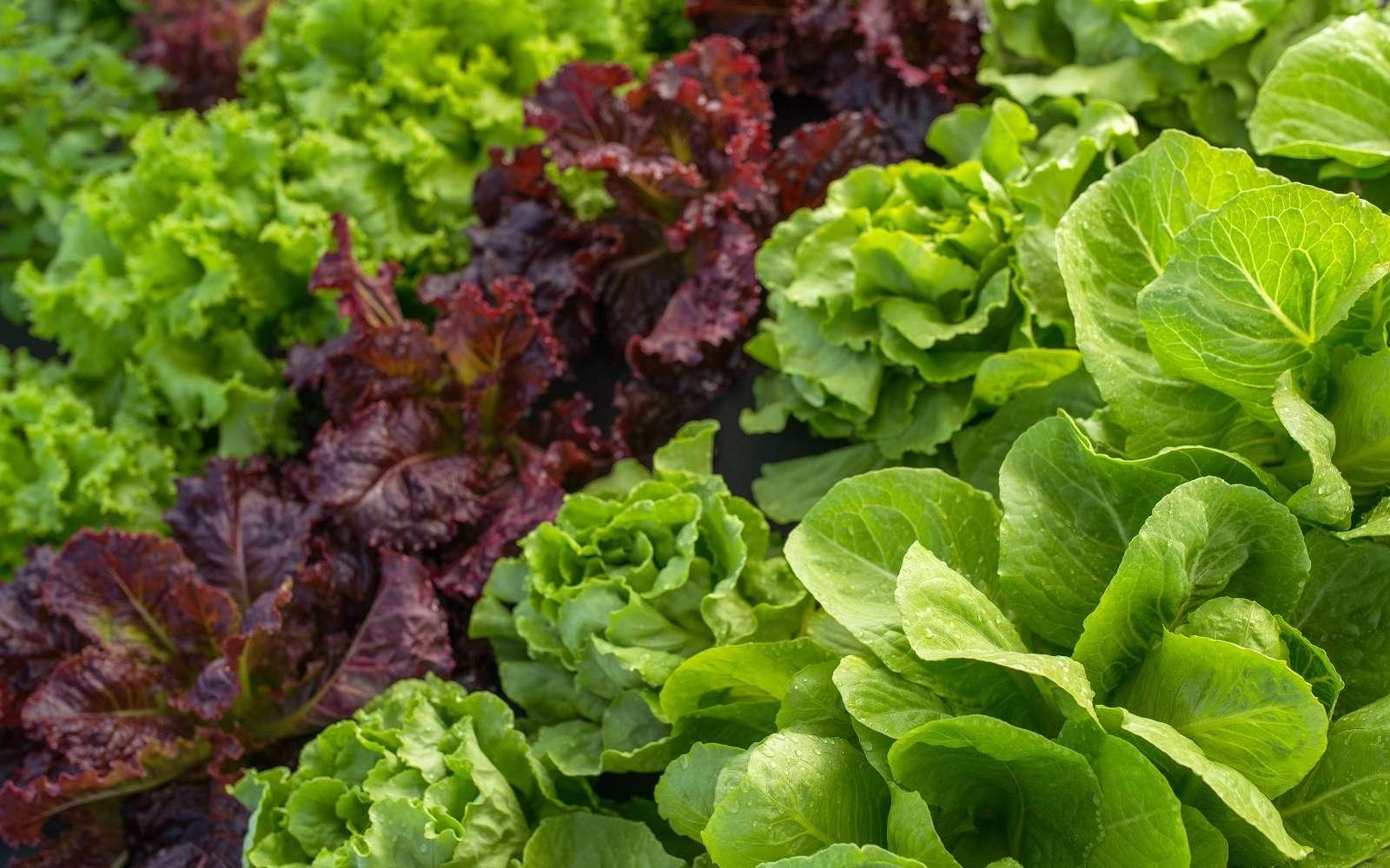 Profitez encore des salades tout l'hiver. © Iarygin Andrii, Adobe Stock
