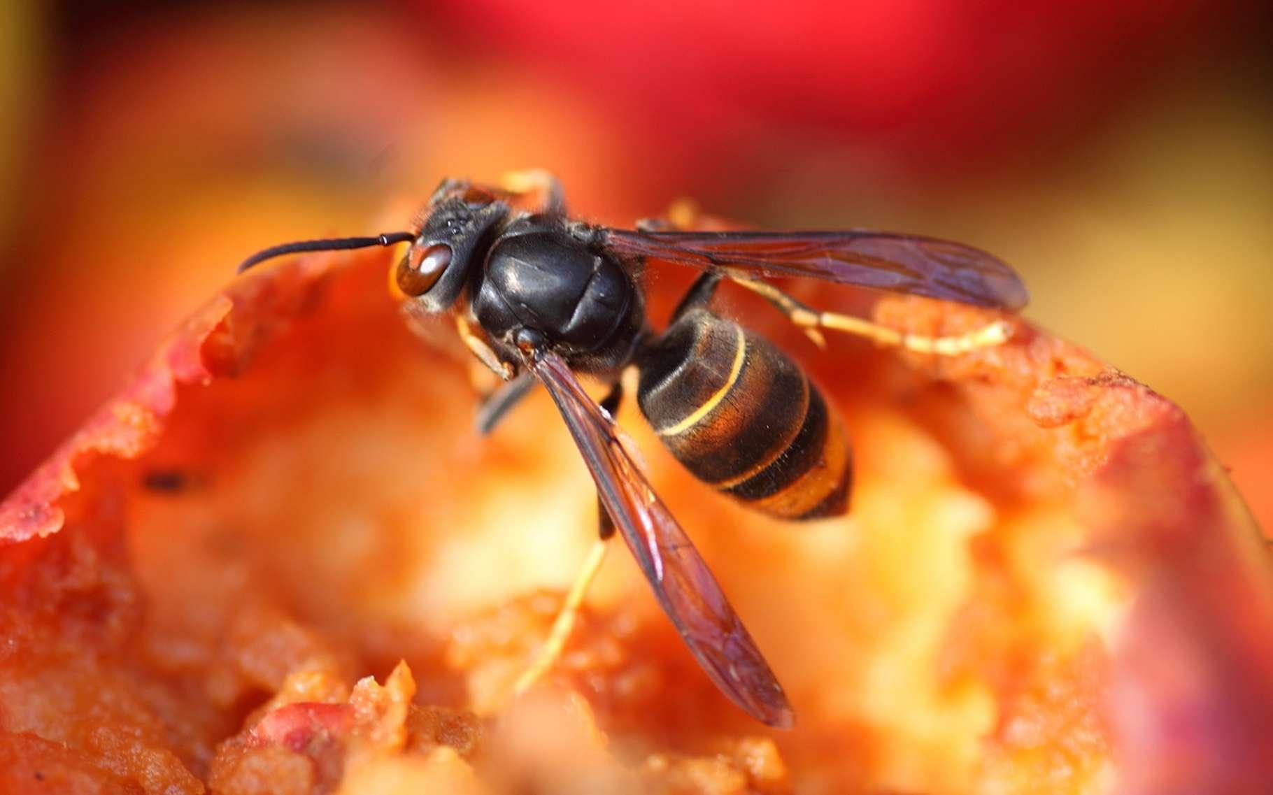 Les frelons asiatiques, tueurs d'abeilles, peuvent aussi être dangereux pour l'homme. Mais il existe quelques astuces pour éviter les piqûres. © galam, Fotolia