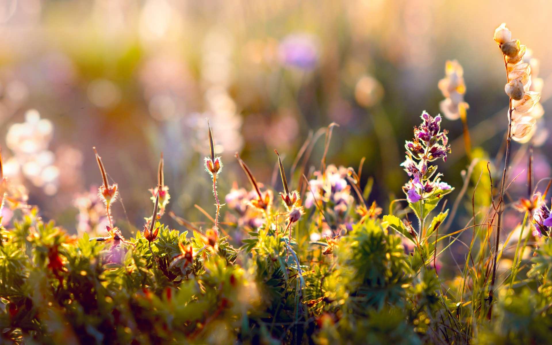 Ces belles fleurs sauvages pourraient ne plus exister dans la nature si nous n'aidons pas la biodiversité. © tankist 276, Adobe Stock