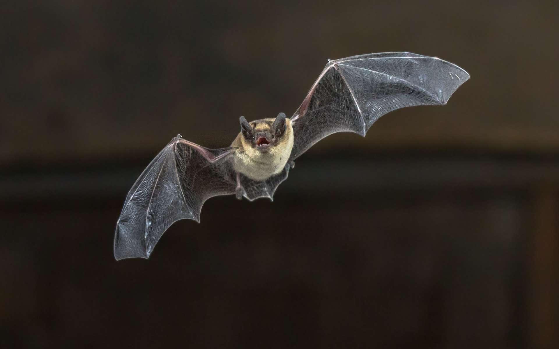 Les chauves-souris, plus que d'autres mammifères, peuvent transmettre des virus à la population humaine. © Creativenature.nl, Adobe Stock