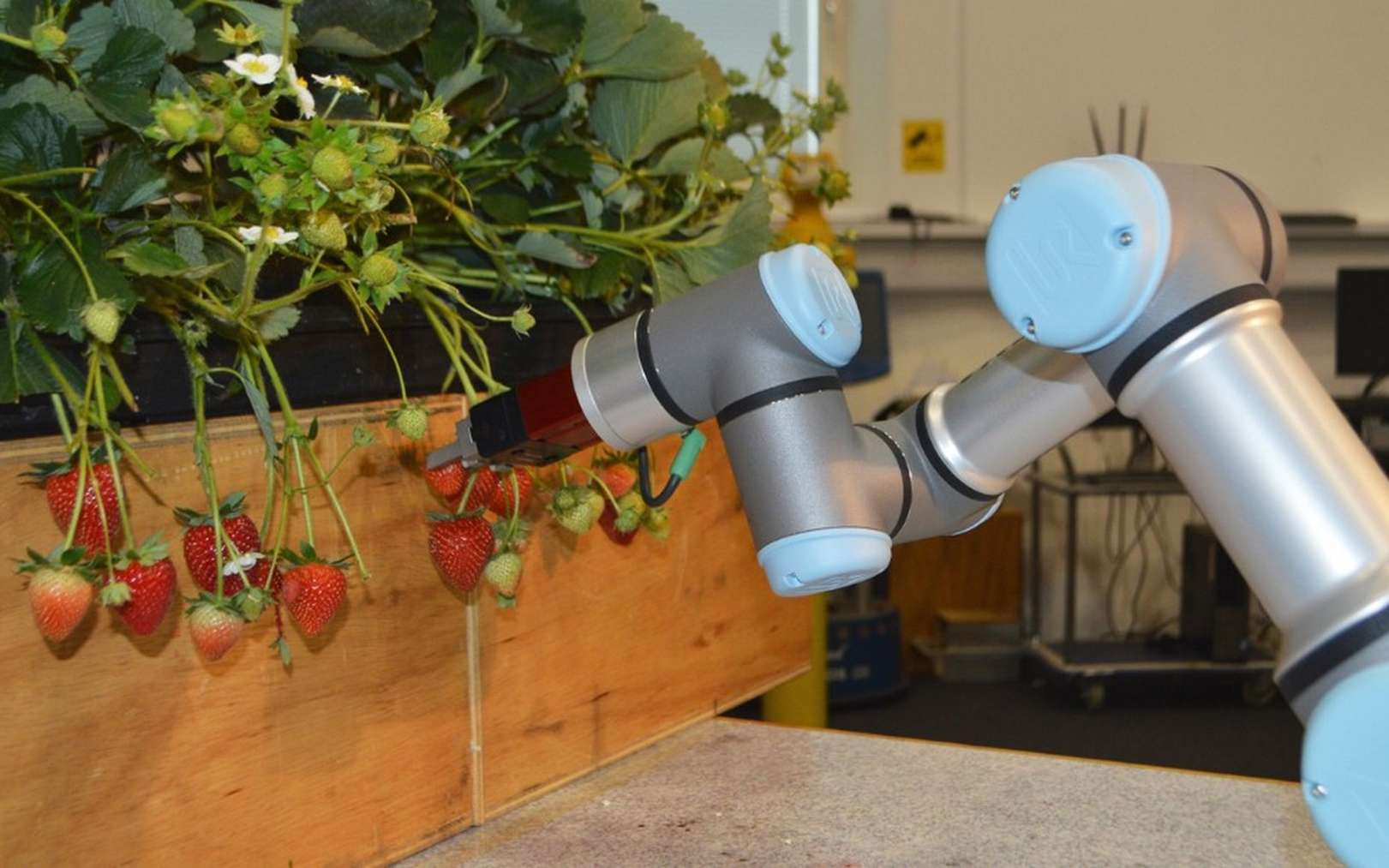 Le bras robotisé développé par l'université de l'Essex pour la cueillette des fraises. © Essex University