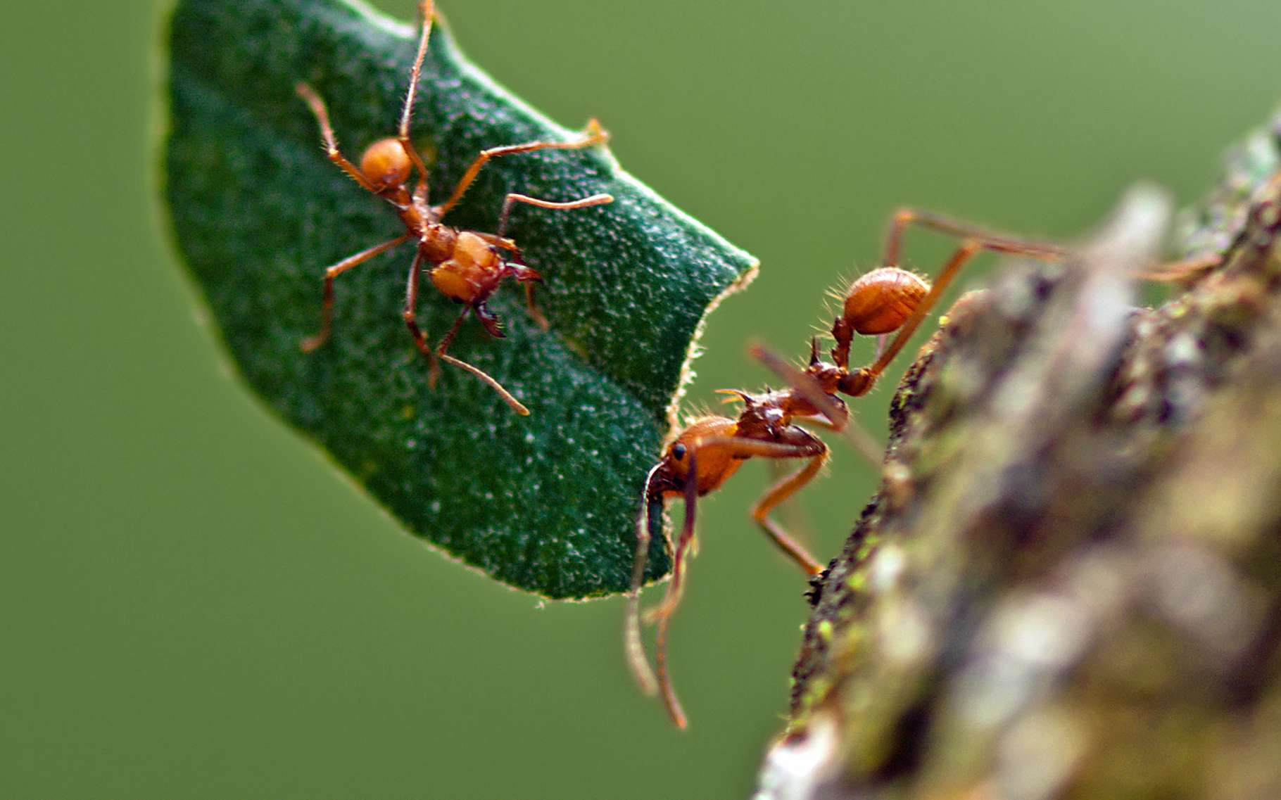 Grosses Fourmis Noires Dans Le Jardin les fourmis champignonnistes et l'agriculture | dossier