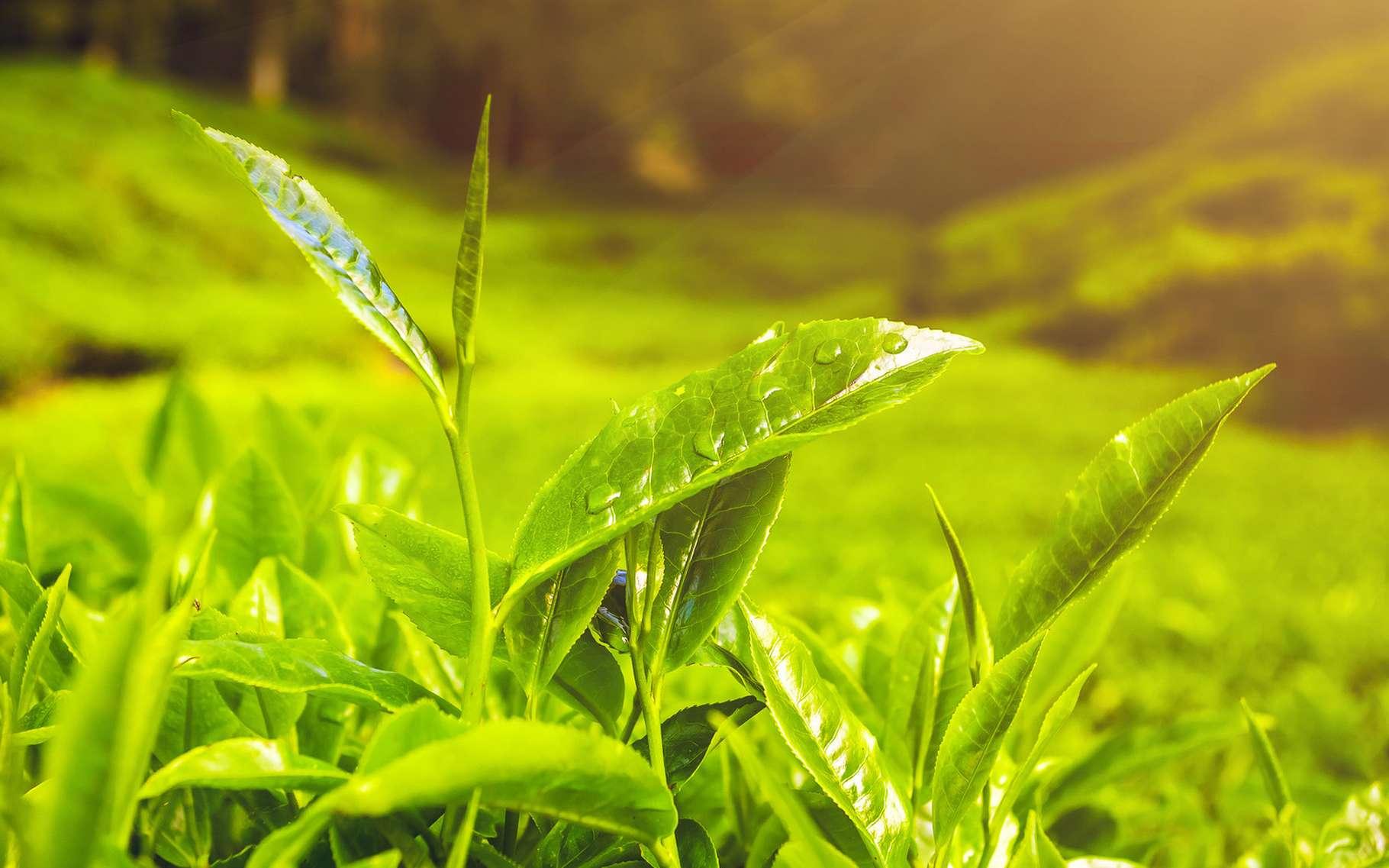 Grâce à son pouvoir antioxydant, le thé vert atténue efficacement les cernes. © Volodymyr Goinyk, Shutterstock