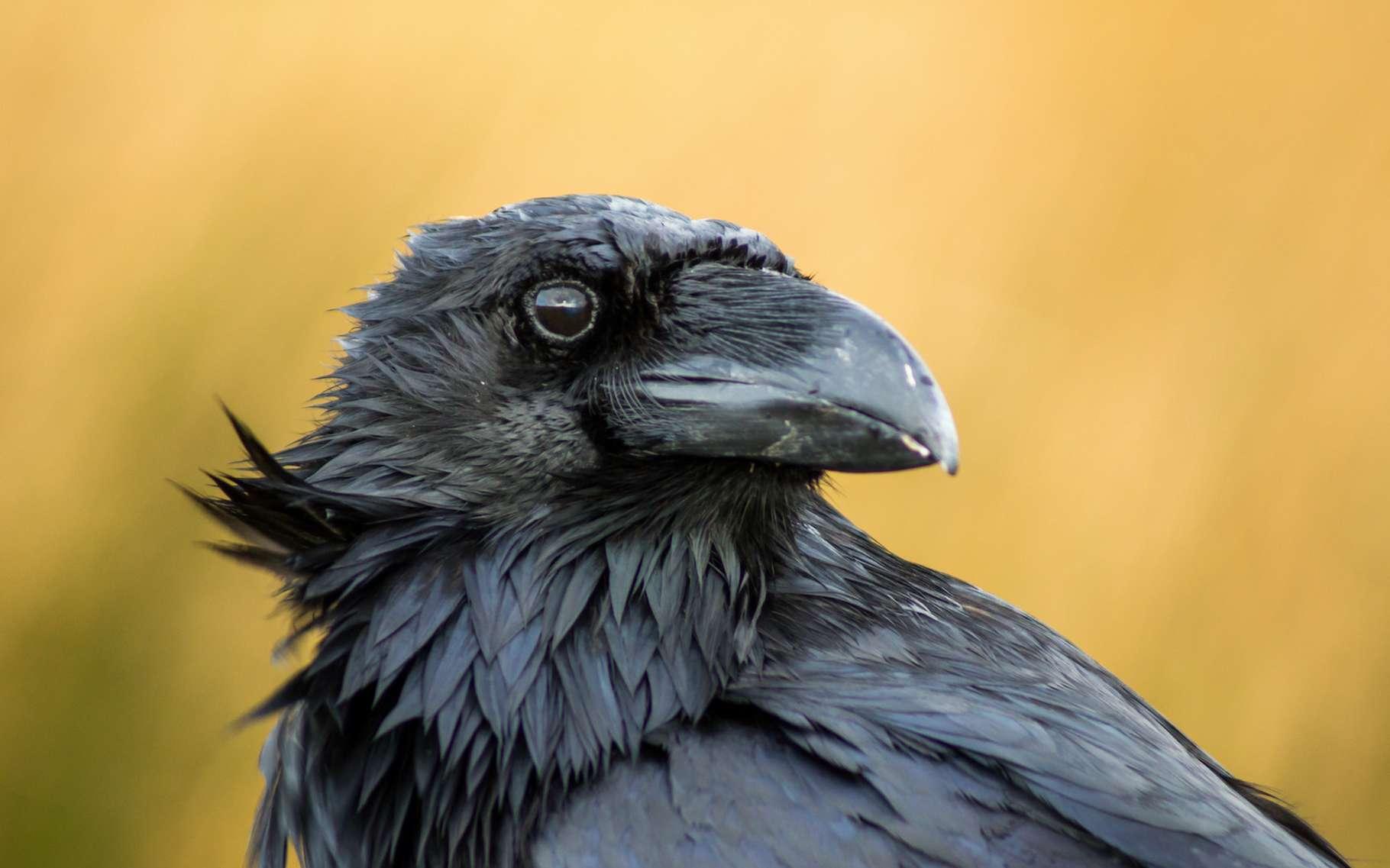 Le corbeau est souvent vu comme symbole de malheur. Mais la réalité est tout autre. Courageux, fidèle, sociable, le corbeau n'est en réalité… pas si bête. © Gabriel, Adobe Stock