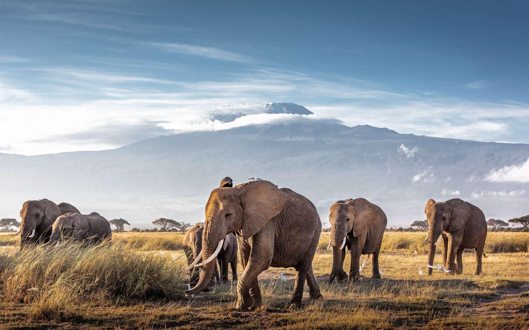 Après des décennies de braconnage qui a fait passer la population d'éléphants de plusieurs millions au milieu du XXe siècle à quelque 400.000 en 2015. © adogslifephoto, Fotolia