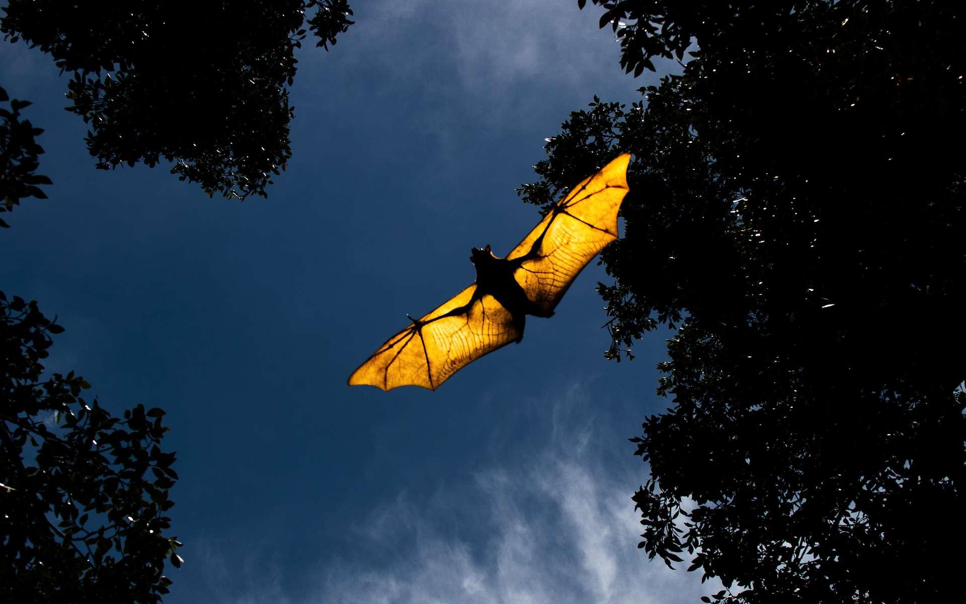 Grâce à leur parfum, les chauves-souris peuvent attirer les femelles dans le noir. © robdowner, Adobe Stock