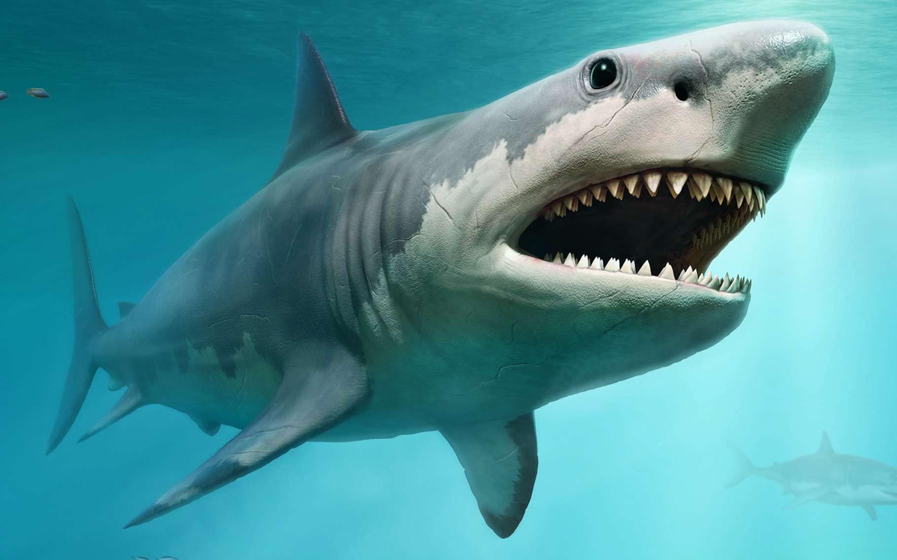 À en croire une nouvelle étude, le mégalodon aurait disparu du fond de nos mers, il y a 3,6 millions d'années environ. Sans doute simplement concurrencé par le grand requin blanc. © warpaintcobra, Fotolia