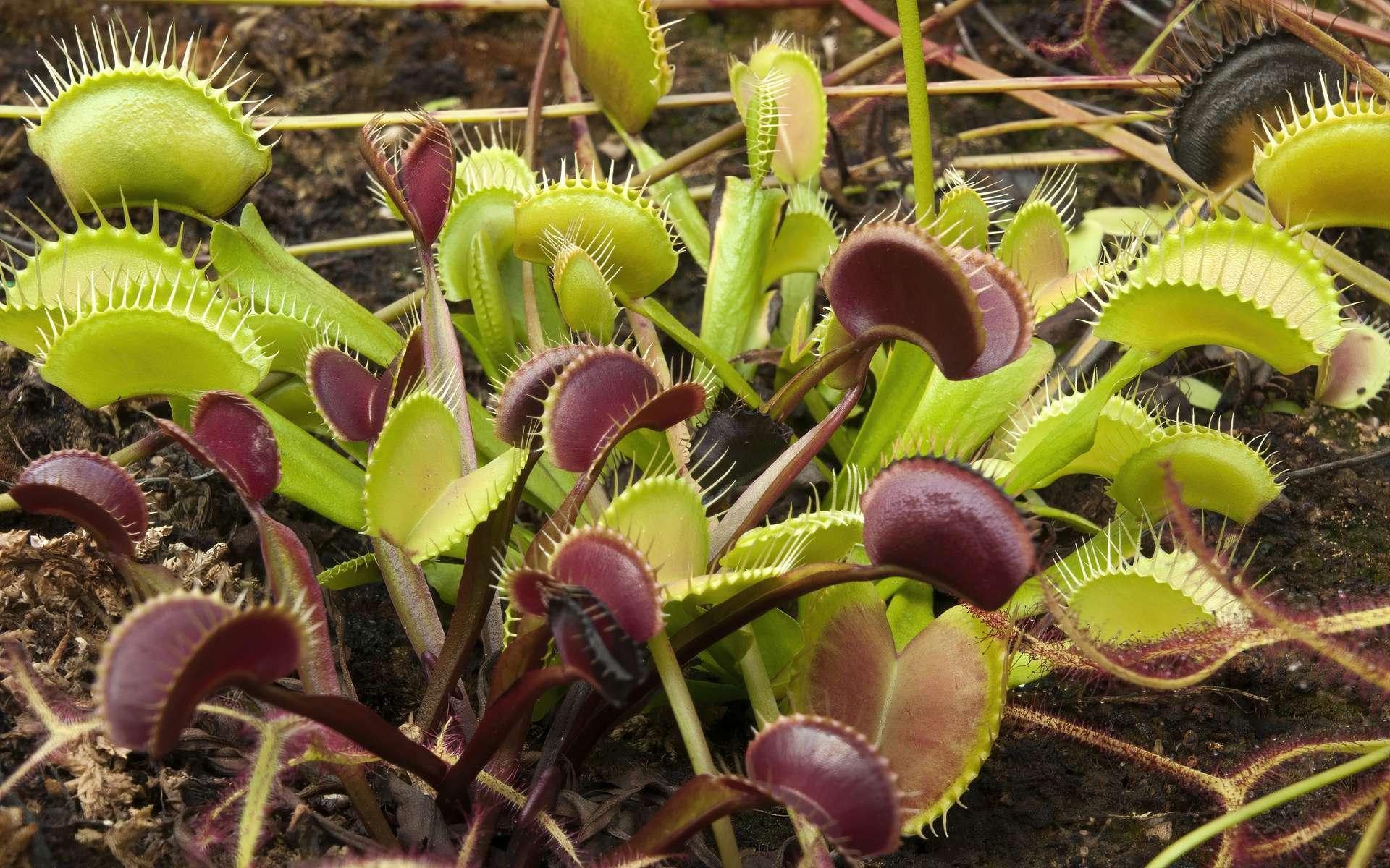 Cette plante carnivore produit son propre champ magnétique - Futura