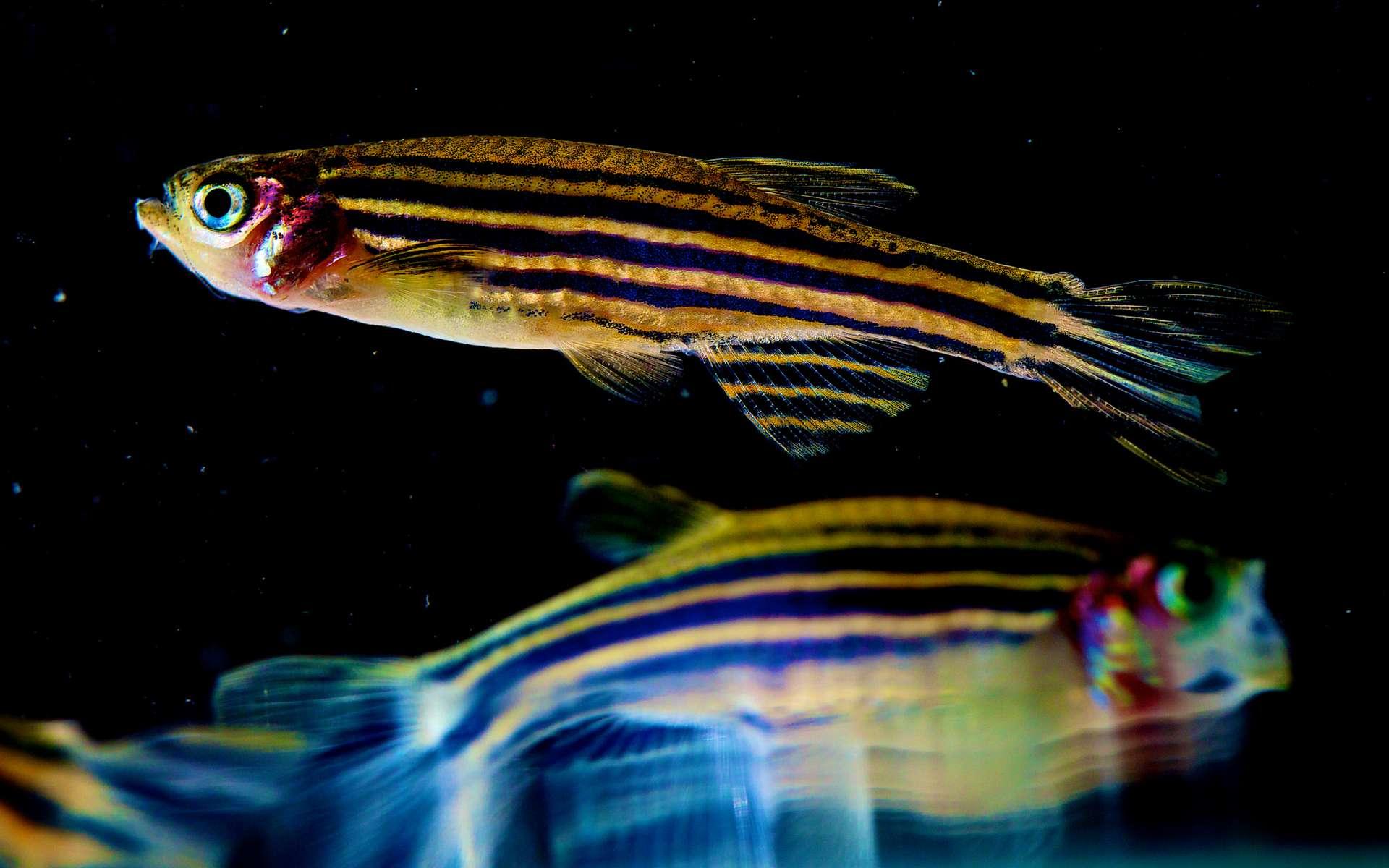 Le poisson-zèbre devient soudainement liquide lors de son développement embryonnaire. © NICHD NIH / Foter.com