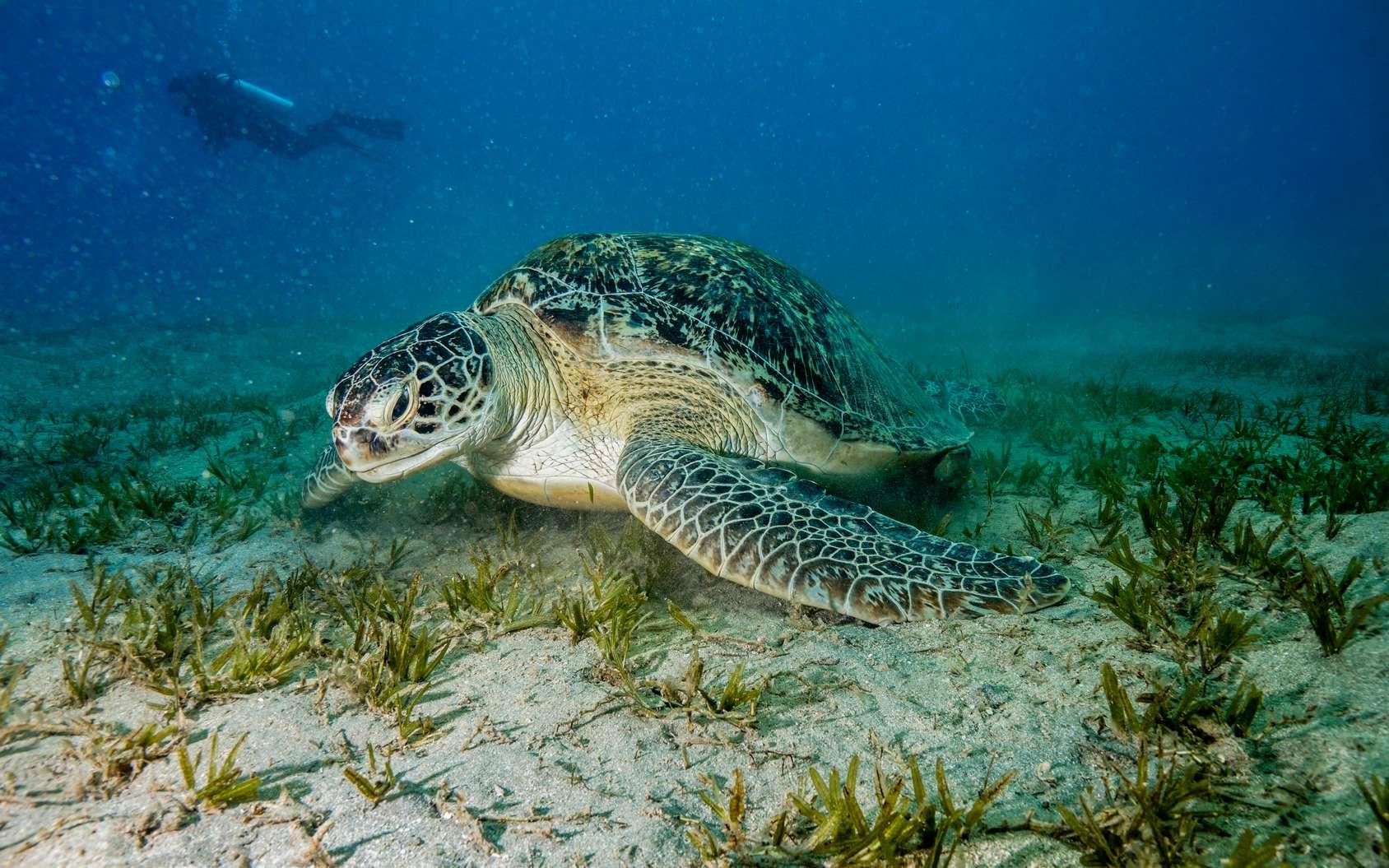 Dans les eaux d'Égypte évoluent des tortues de mer. © Mina Ryad, Fotolia