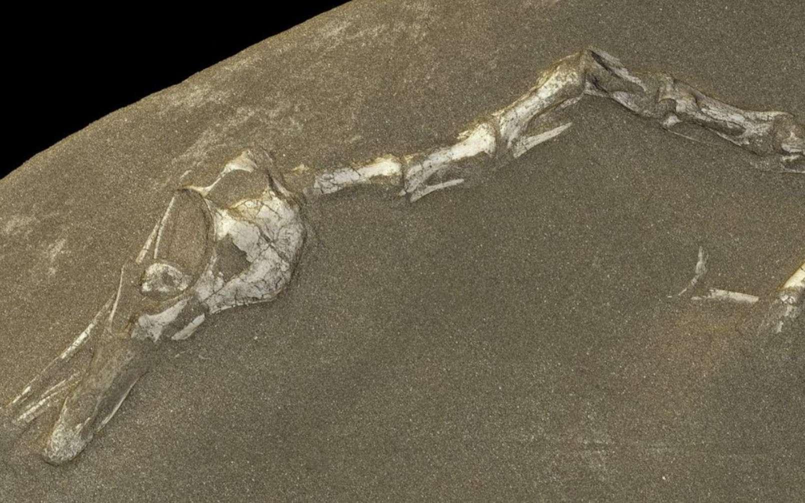 Un zoom sur la reconstitution en 3D de Halszkaraptor escuilliei. © ESRF Paul Tafforeau