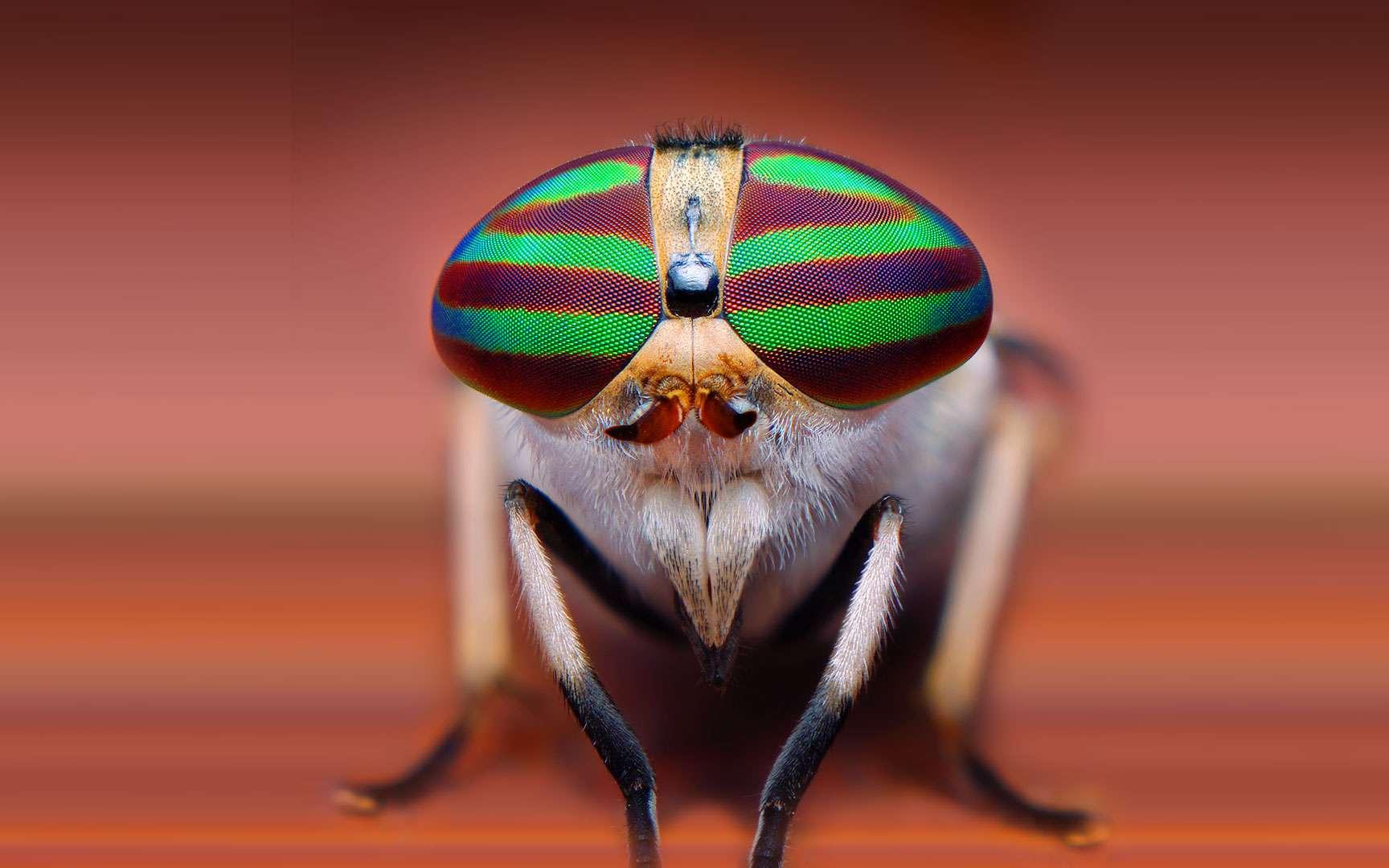 La vue infaillible du gecko léopard. Les geckos ont une bonne vue et sont capables de percevoir les couleurs. Deux types d'yeux existent en fonction du mode de vie de l'animal (nocturne ou diurne). Sur cette image, on aperçoit l'œil d'un gecko léopard (Eublepharis macularius), une espèce nocturne qui vit en Afghanistan, en Inde et au Pakistan. Comme chez le chat, sa pupille est fendue verticalement et peut se dilater énormément pour capter le maximum de lumière. La majorité des geckos n'ont pas de paupière, mais une écaille transparente qui leur protège l'œil. Ce n'est pas le cas de la famille des Eublepharidés, dont le gecko léopard fait partie. Chez les geckos, l'œil est quasiment dépourvu de blanc et l'iris présente souvent des motifs sous forme de stries ou de lignes fines plus sombres. On peut les distinguer sur cette image. © Suren Manvelyan, tous droits réservés