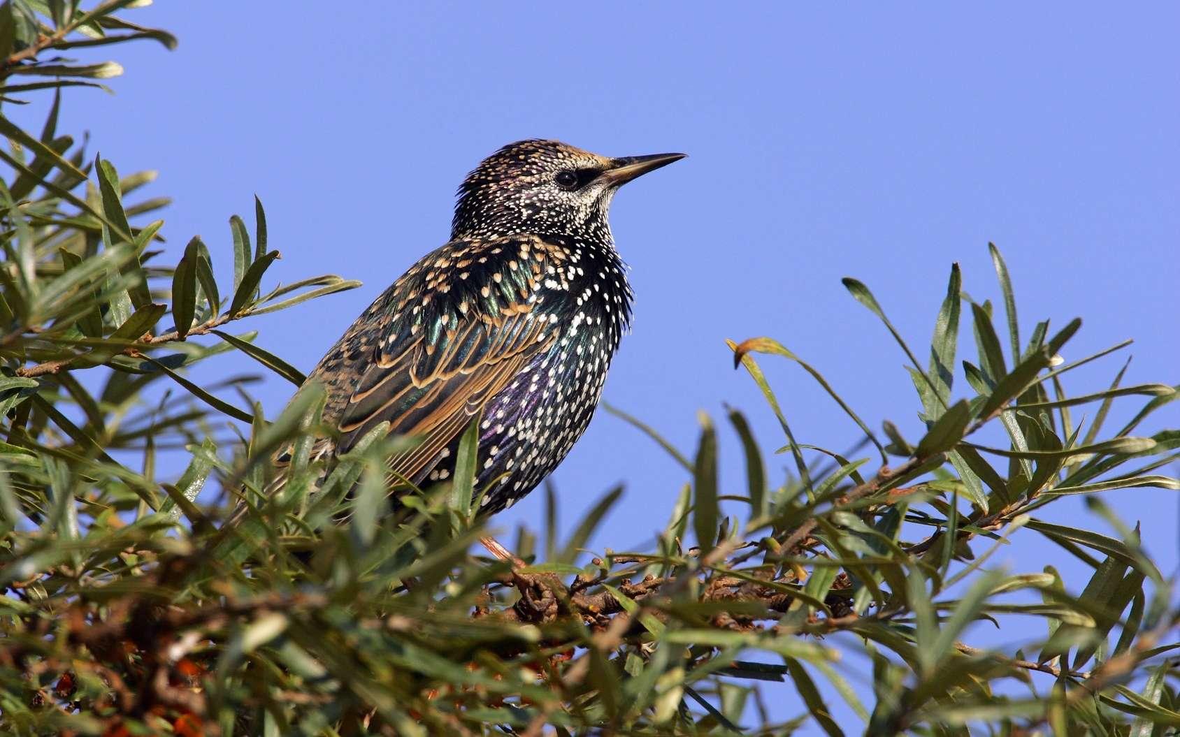 L'étourneau sansonnet reste plus à couver si le nid comprend certaines herbes. © imageBROKER, Fotolia