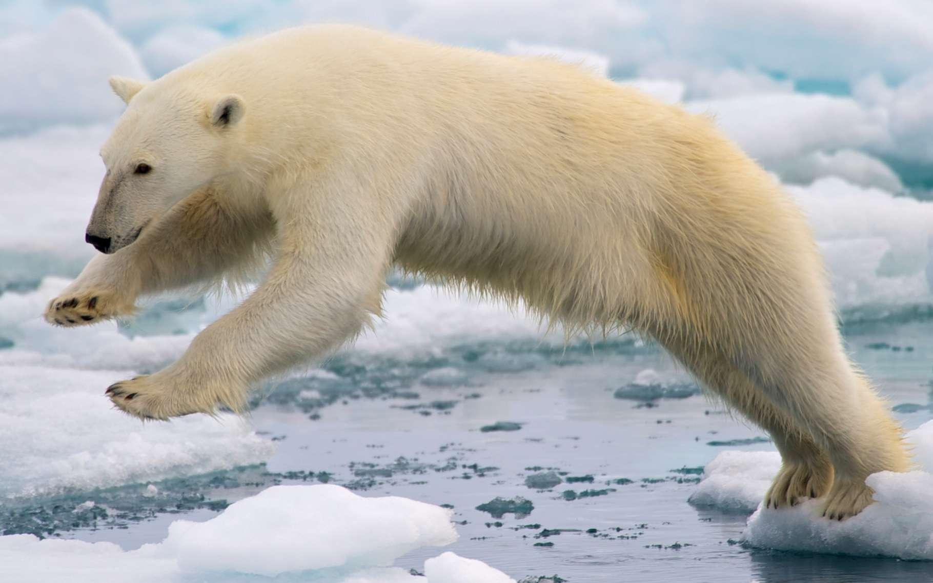 La banquise est une glace de mer dont la fonte n'impacte quasiment pas le niveau des océans. Ici, un ours polaire bondissant entre deux blocs de glace de la banquise fondante, sur l'île de Spitzberg, dans l'archipel norvégien de Svalbard. © Arturo de Frias Marques, Wikimedia Commons, CC by-sa 4.0