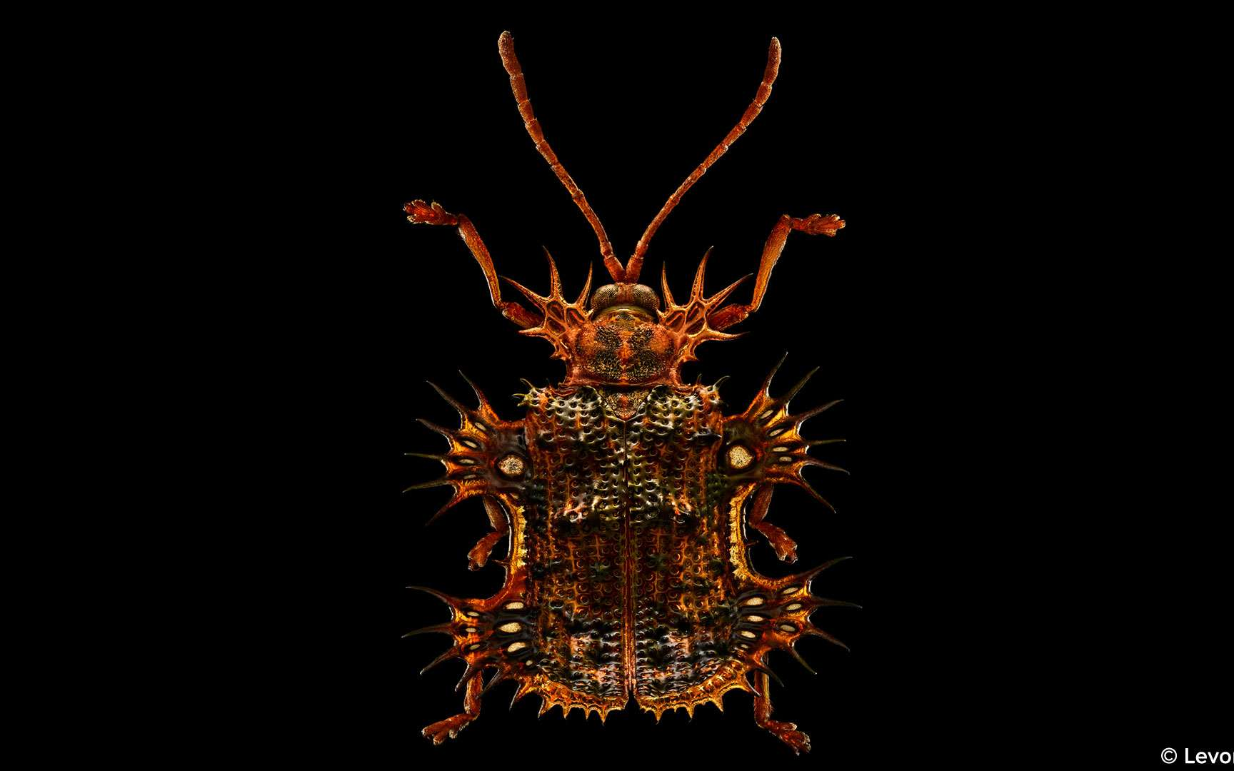 La forme de la carapace de ce coléoptère vivant en Chine lui a valu le surnom de scarabée tortue. Platypria melli est une merveille de complexités. Sa belle carapace cuivrée est marquée d'une multitude de petits trous et hérissée d'épines à ses extrémités. Leurs fonctions ne sont pas claires mais sont probablement défensives ou aident au camouflage de l'insecte parmi la végétation. La lumière qui passe à travers cet échantillon révèle des zones où les ailes sont très fines. © Levon Biss