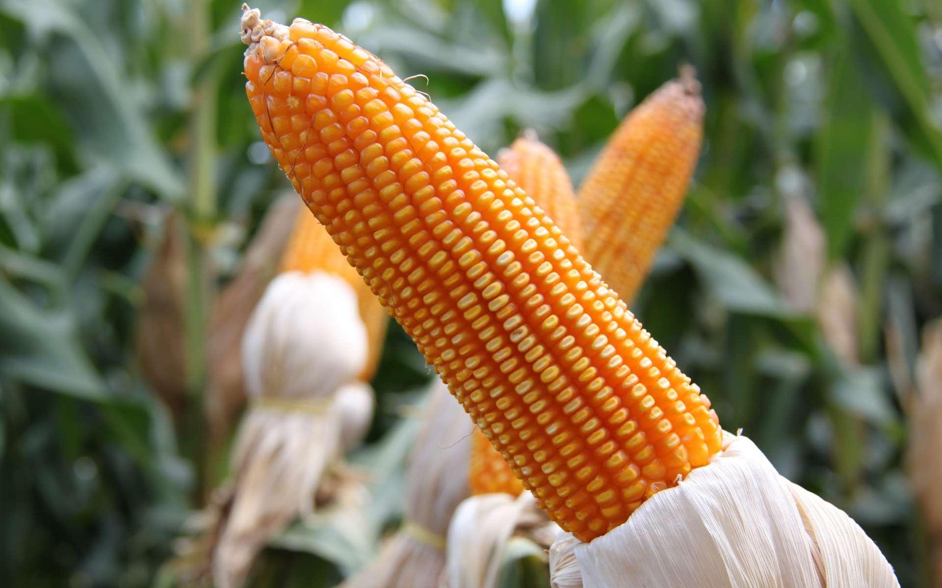 Le maïs transgénique est la semence OGM la plus cultivée au monde, après le soja. © PxHere
