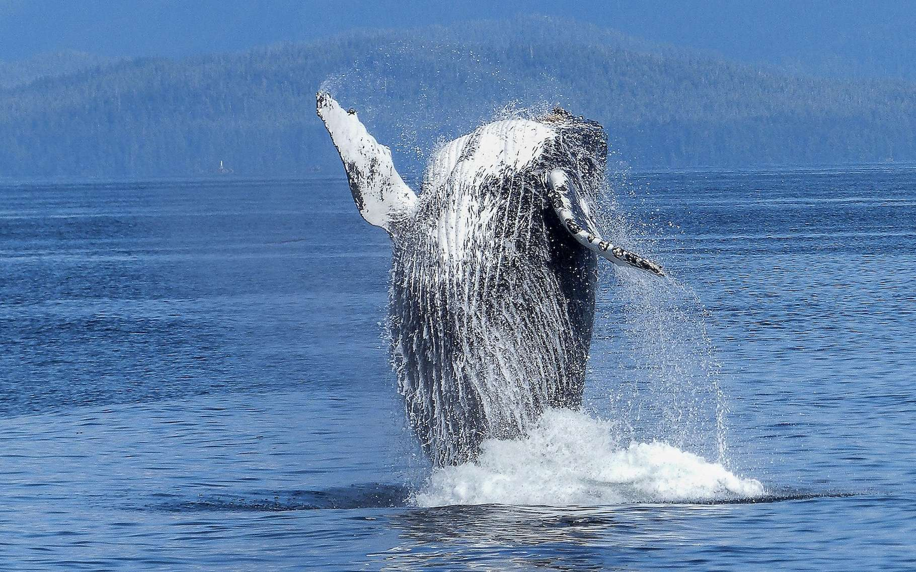 L'extraordinaire renaissance des baleines à bosse