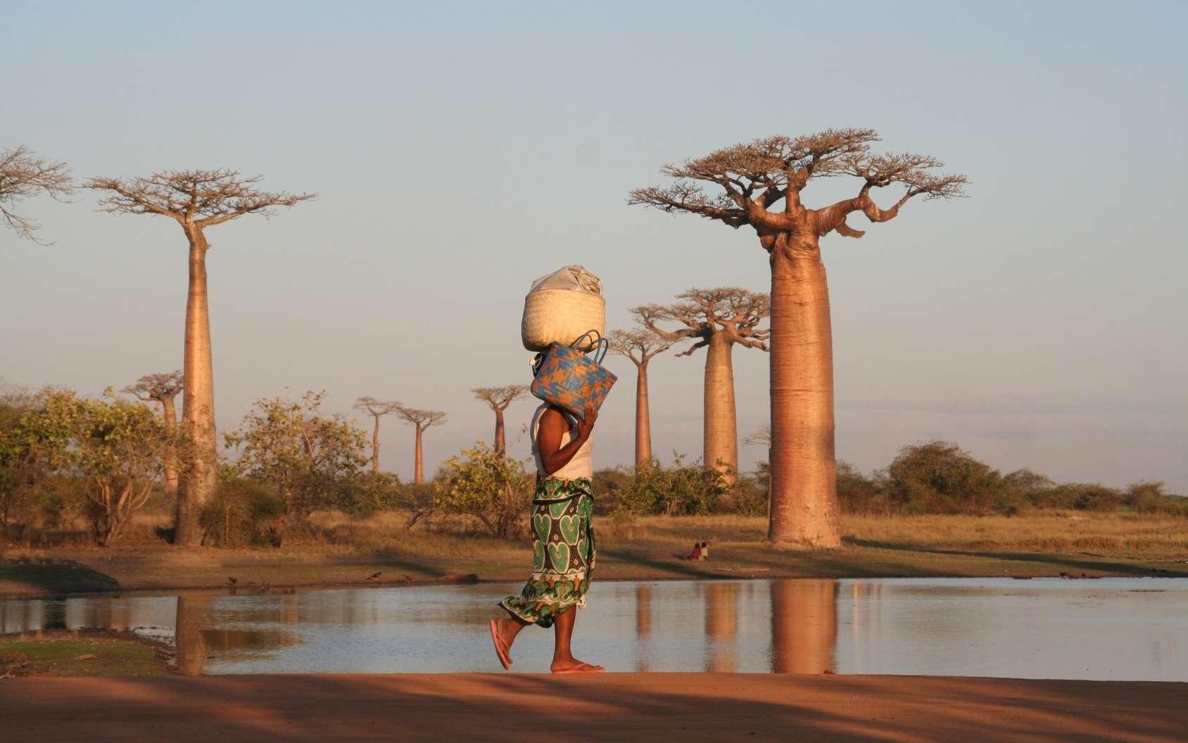 Des marques de boucherie sur les os fossiles appartenant à des oiseaux-éléphants de Madagascar, une espèce éteinte, révèlent que les hommes préhistoriques sont arrivés sur l'île il y a au moins 10.500 ans. Cela repousse de 6.000 ans la date de colonisation de Madagascar préalablement acceptée. © Duleyrie, Fotolia