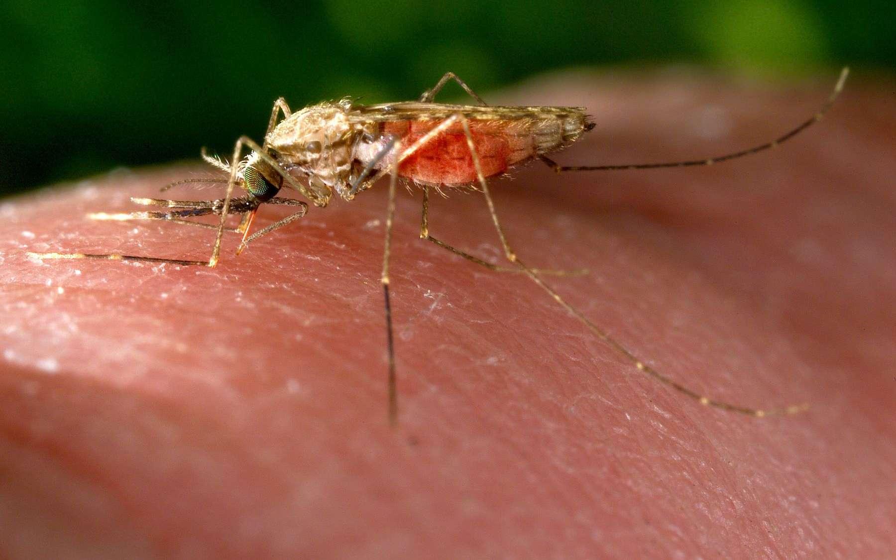 Les anophèles sont des moustiques communs dans certaines régions du monde. Ils figurent parmi les cibles visées par les chercheurs pour stopper la transmission du paludisme, avec plus ou moins de succès... © Jim Gathany, USCDCP, domaine public