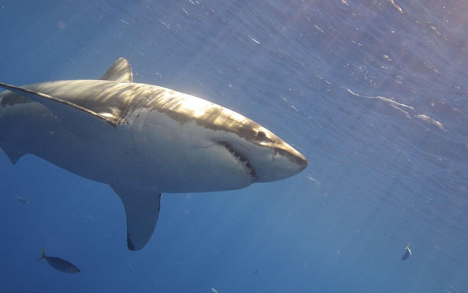 Le requin plus dangereux à cause du réchauffement de l'océan ? © Elias Levy, Flickr