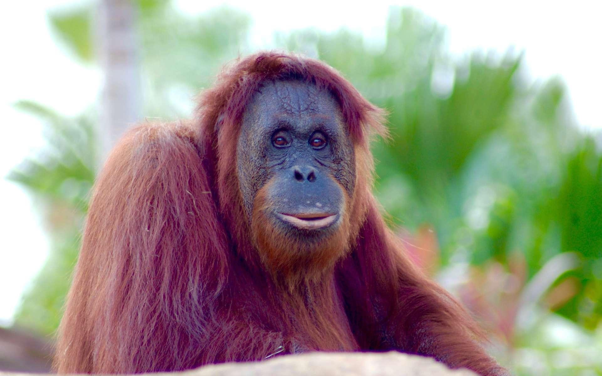 Les orangs-outans, ces grands singes vivant dans les forêts tropicales de l'île de Bornéo, sont en danger d'extinction à cause de la déforestation et de la chasse. © PxHere