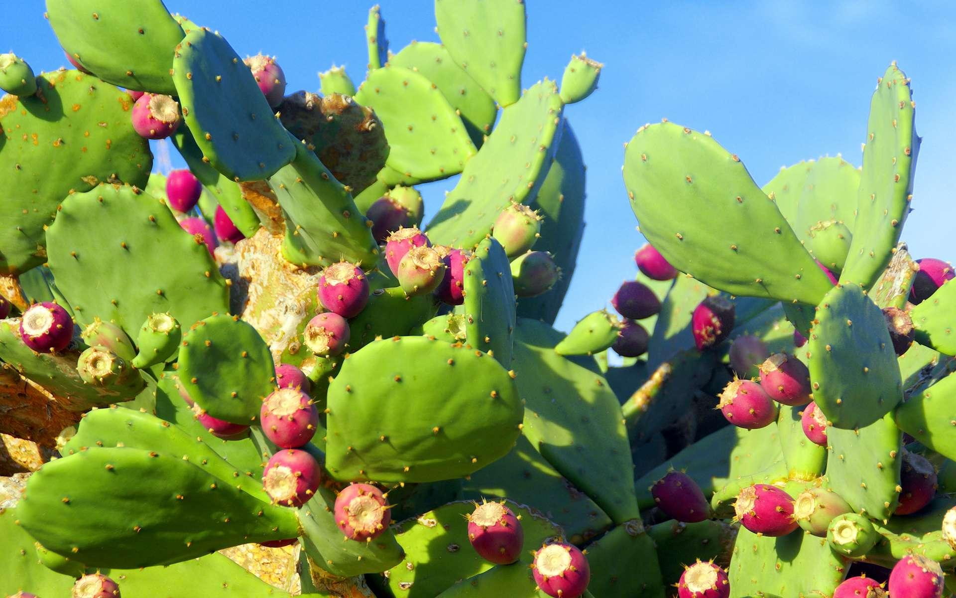Le goût de la tige de nopal rappelle celui du haricot vert et de l'asperge © Iamax, Fotolia