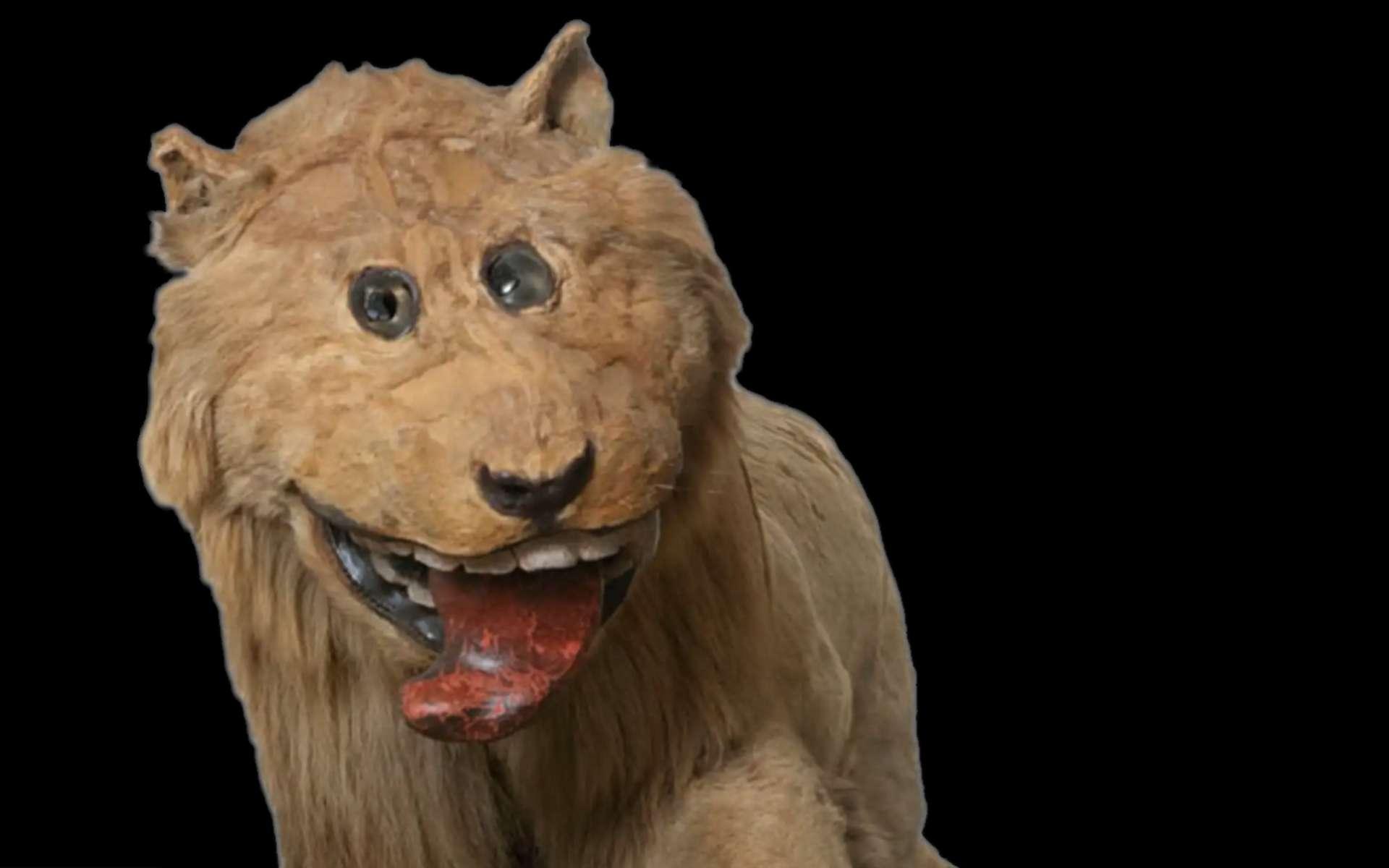 Le lion empaillé de Gripsholm. © Hans Thorvid, Nationalmuseum