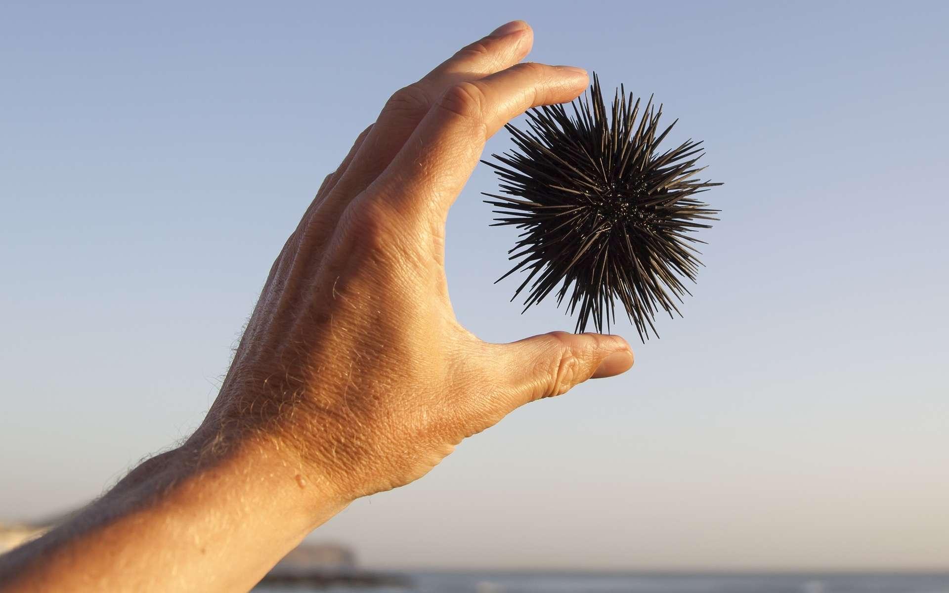L'oursin est le nouvel animal star de la médecine régénérative. © Hallbergsf, Shutterstock