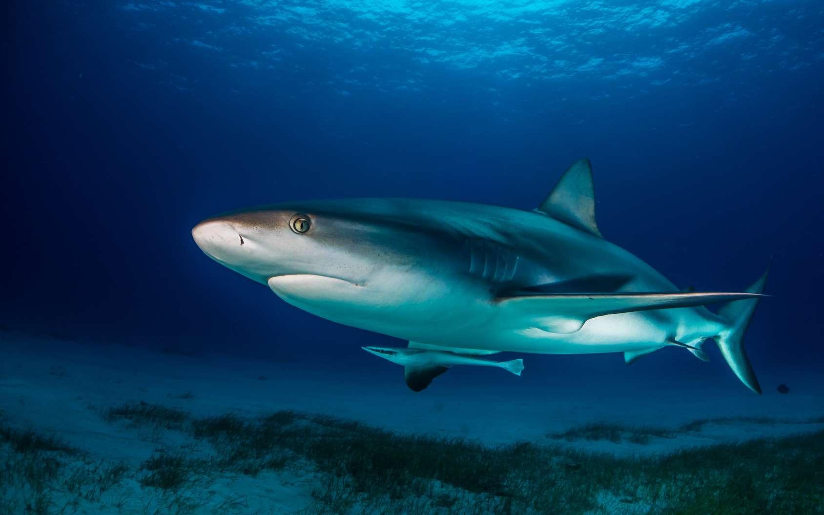 Le requin tigre, un redoutable prédateur y compris pour les oiseux terrestres. © hakbak, Fotolia