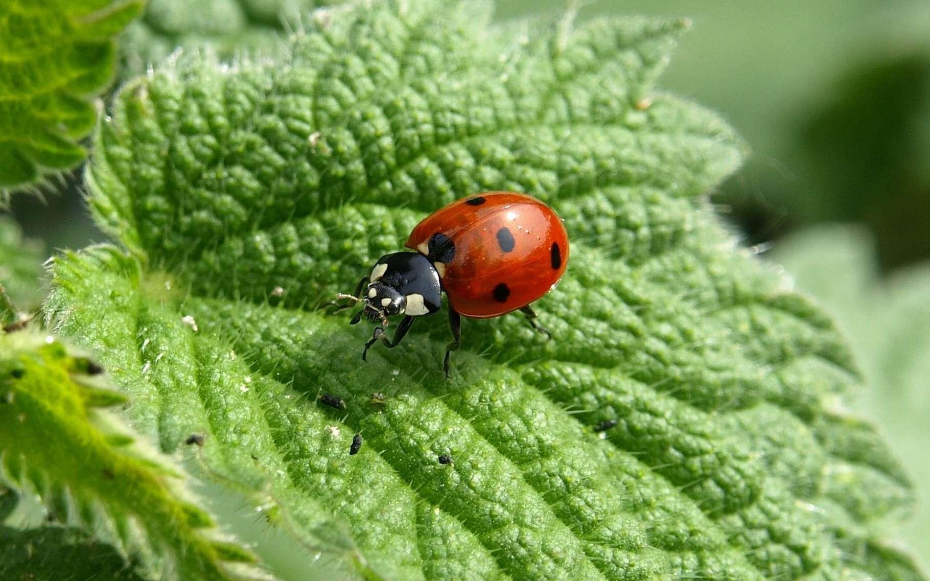 La coccinelle est un excellent ami pour la protection des plantes. © Ariessa 66, Pixabay, DP