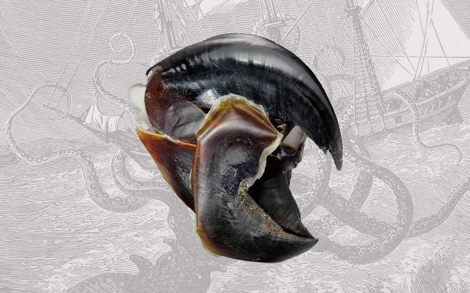 Le bec acéré du calamar de Humboldt est particulièrement solide. © HA.com, Wikimedia Commons, Futura