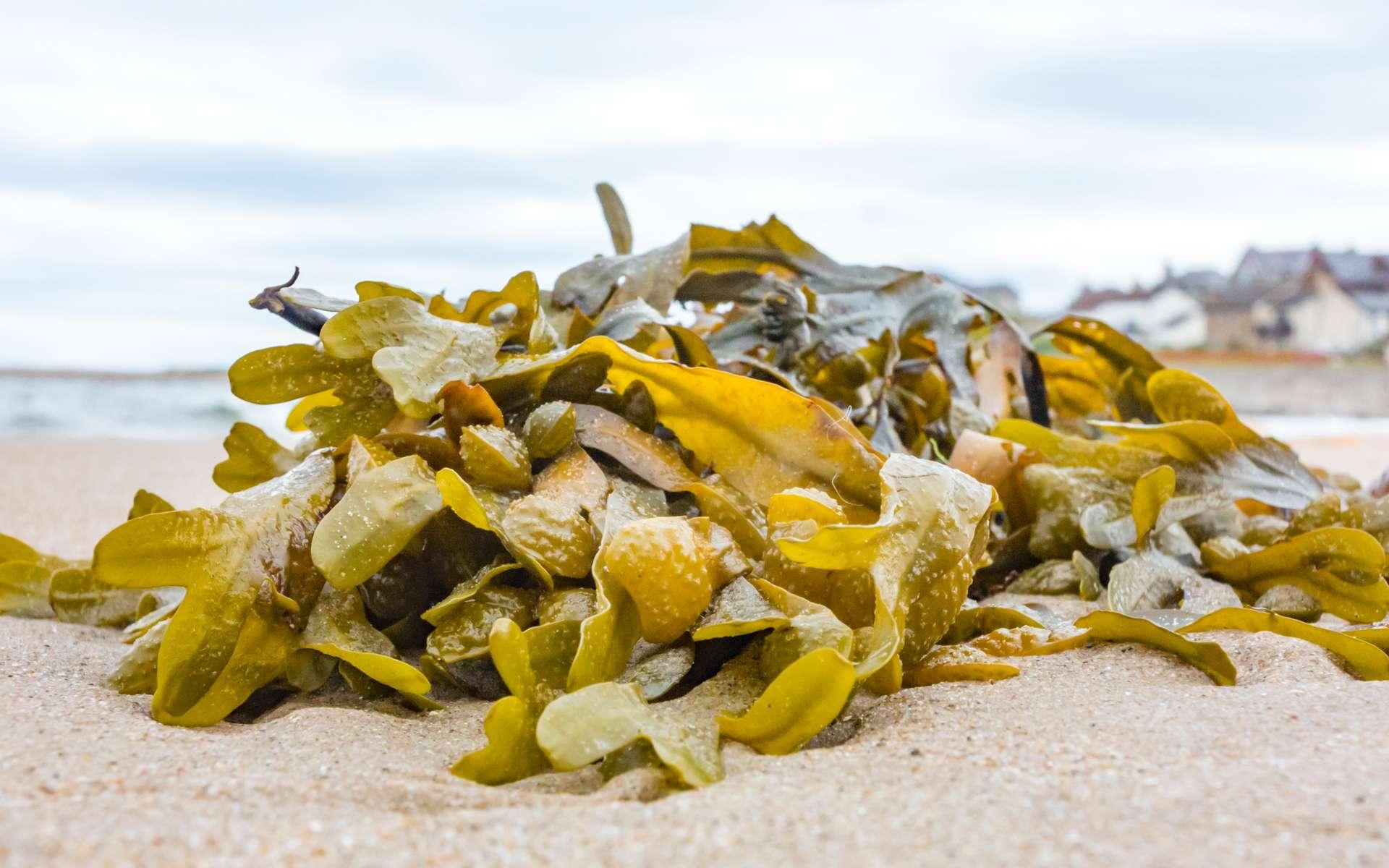 Les algues possèdent de très nombreuses qualités et remplacent les produits issus de la pétrochimie utilisés dans la composition des peintures. Résultat, une nouvelle gamme de peintures biosourcées à 98 %. © stylefoto24, Adobe Stock