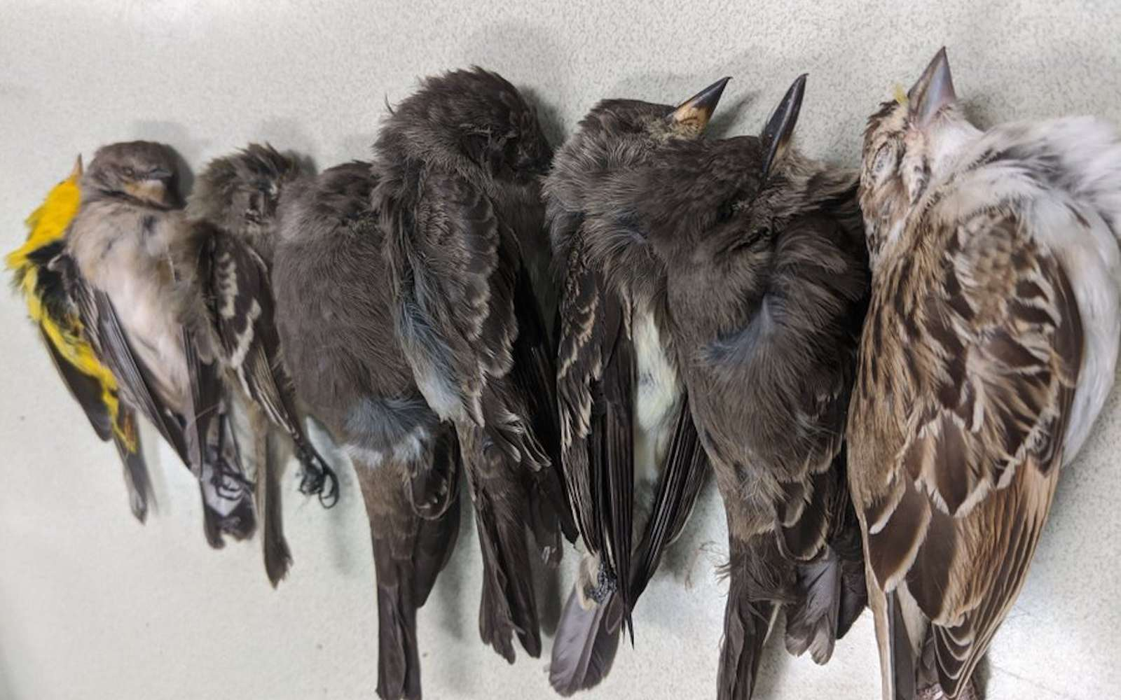Des centaines de milliers d'oiseaux morts, fauchés par la chaleur et la fumée aux États-unis. © Allison Salas, Twitter