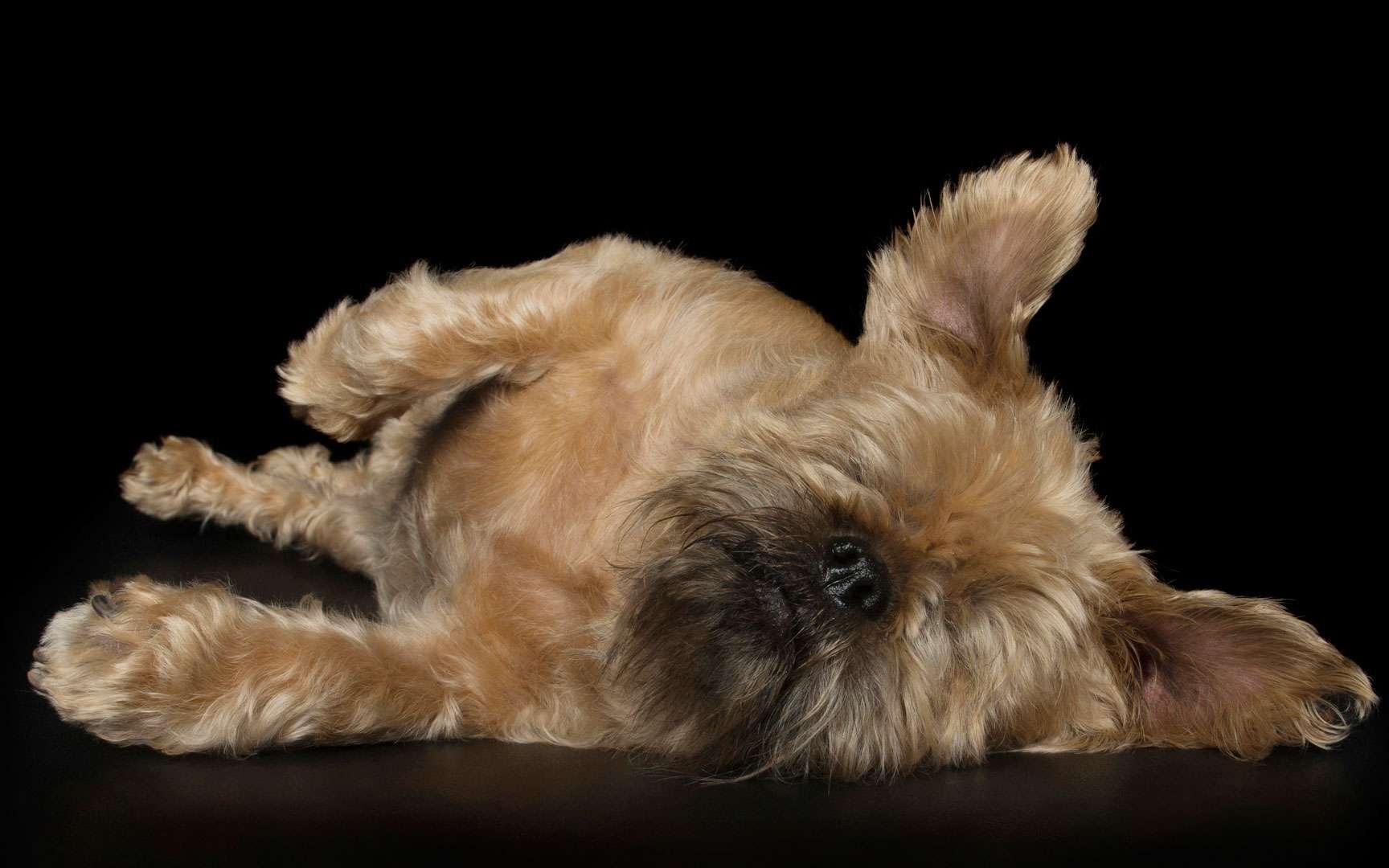 Chez le chien, le glaucome — comprenez l'augmentation de la pression à l'intérieur de l'œil — est une affection assez fréquente. Et faute d'être prise en charge rapidement, elle peut entraîner la perte de l'œil.En 2011, Lady Bug y a ainsi laissé un premier œil. Puis c'est le second qui a été touché. Malgré les efforts engagés par «ses humains» et les vétérinaires, elle a dû être à nouveau opérée en 2014, juste avant Noël. Pourtant, Lady Bug n'a pas perdu sa vitalité. Elle a rapidement su apprendre à faire confiance à ses autres sens pour continuer à profiter pleinement de la vie. © Alex Cearns, Tous droits réservés