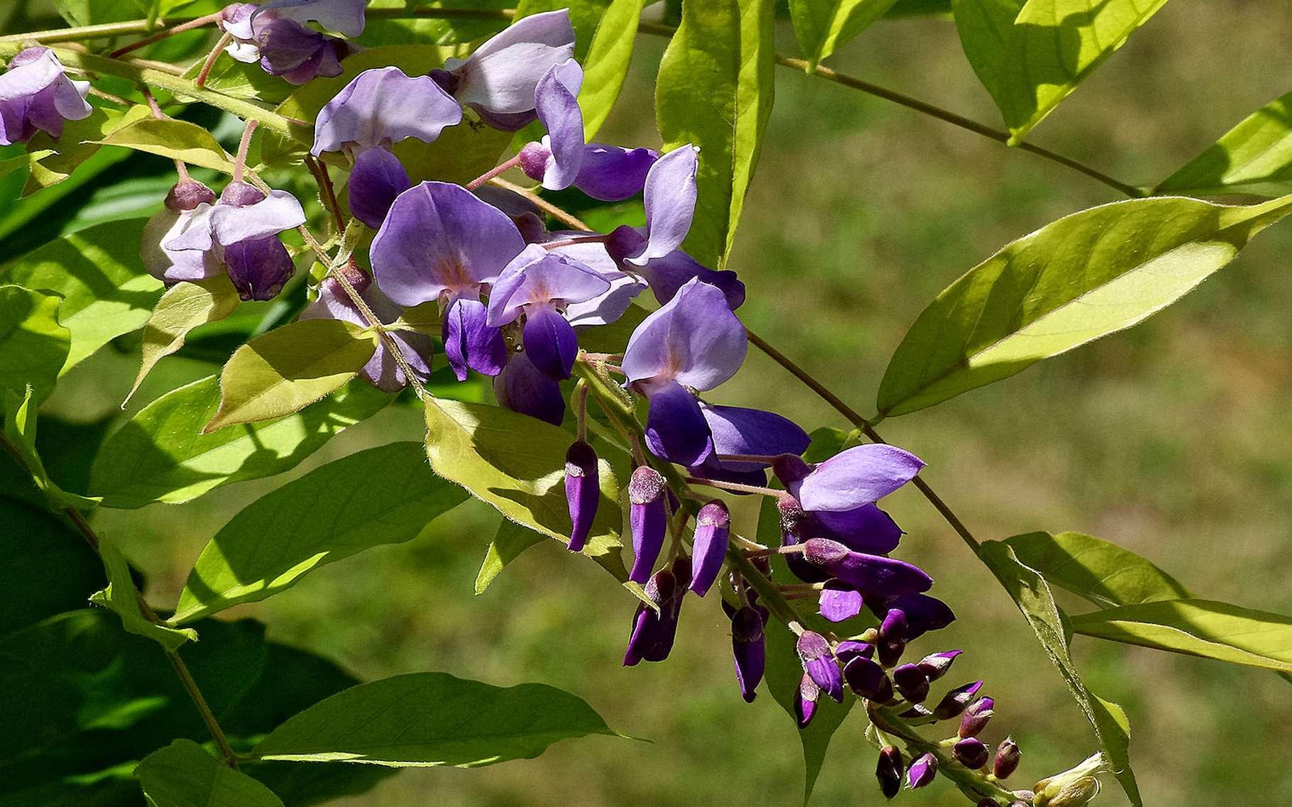 La glycine est une plante grimpante qui appartient à la famille des légumineuses. C'est également un acide aminé, noté Gly.© Photozou, DR