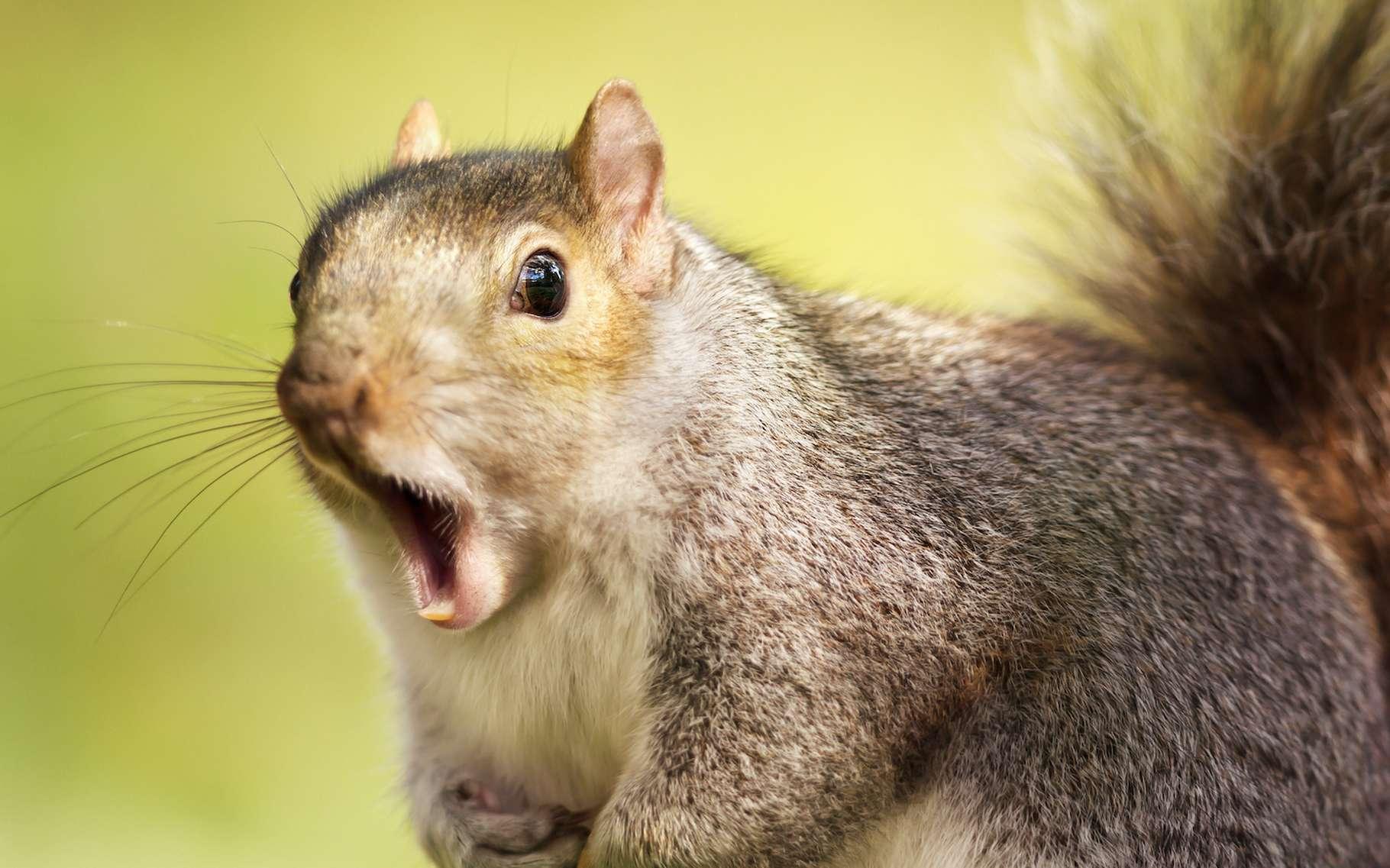 L'écureuil gris est l'un de ces animaux que l'on considère parfois comme un peu simplets. Pourtant, il fait montre d'une mémoire plutôt sûre. Et sait mettre en œuvre des stratégies de tromperie élaborées. Pas si bête ? © giedriius, Adobe Stock