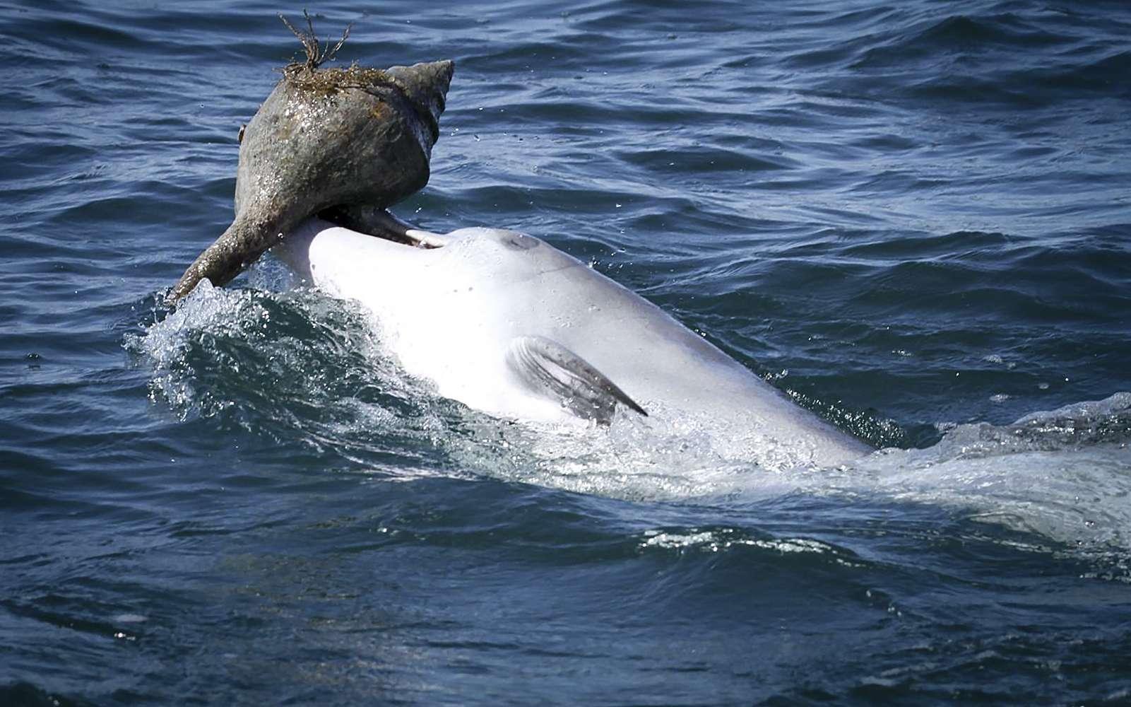 Les dauphins apprennent à piéger les poissons dans des coquillages