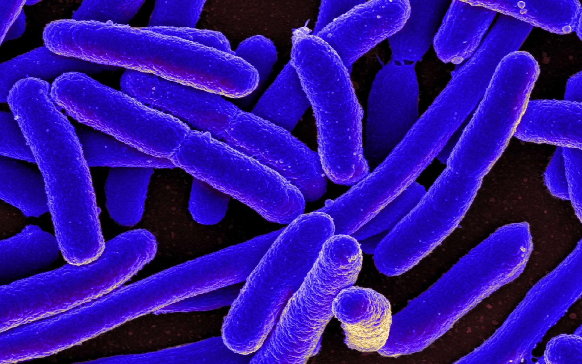 Le génome de la bactérie E. coli recréé de toutes pièces par synthèse chimique. © NIAID