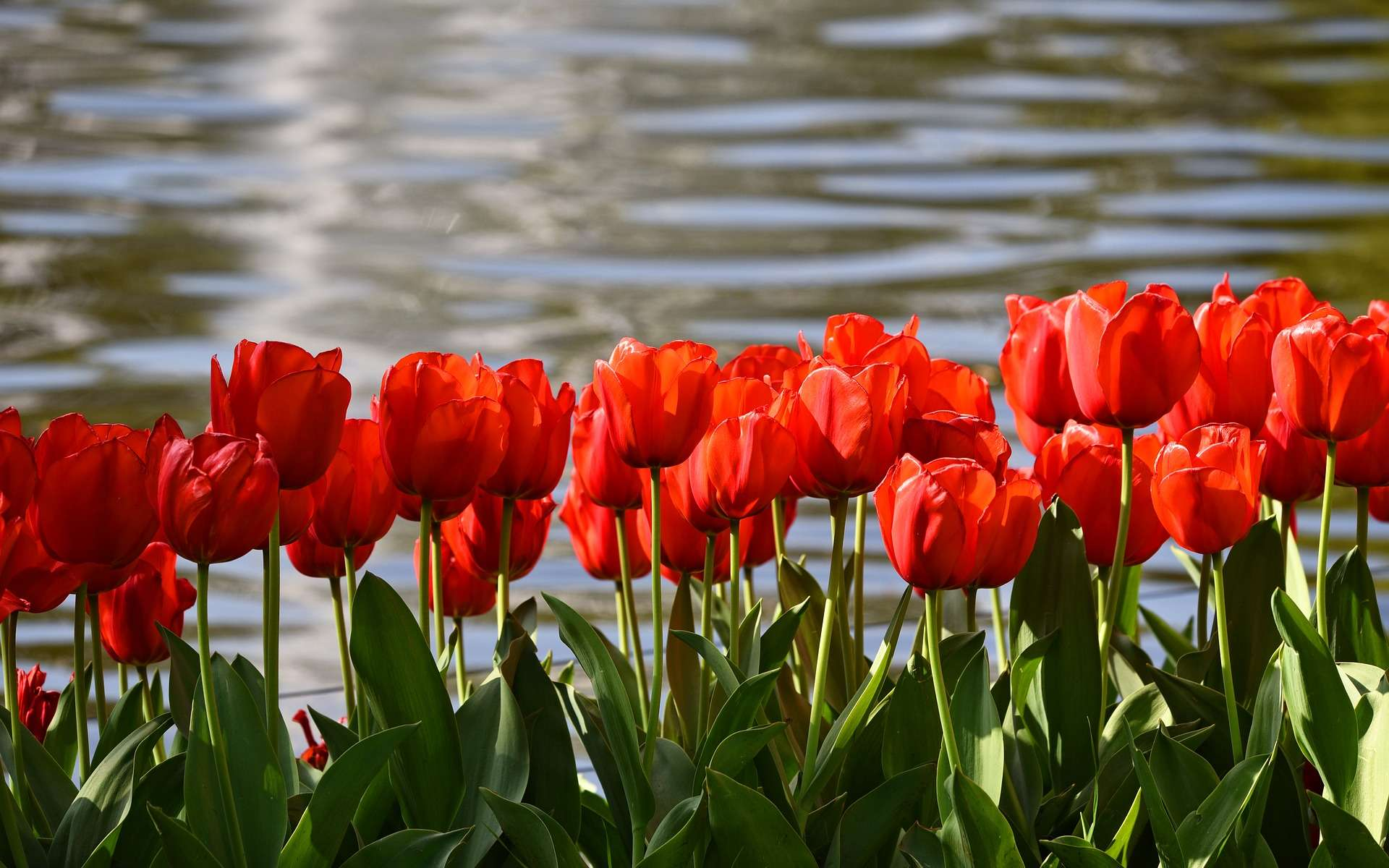 Tulipes pourpre. © MabelAmber, Pixabay, DP