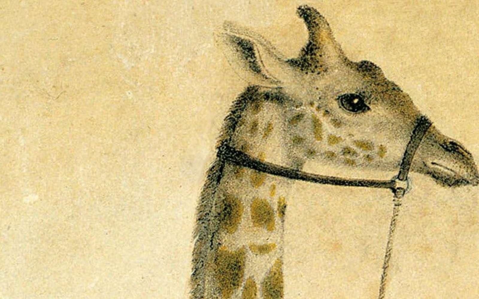 Zarafa, la girafe du roi Charles X. © Museum d'Histoire Naturelle