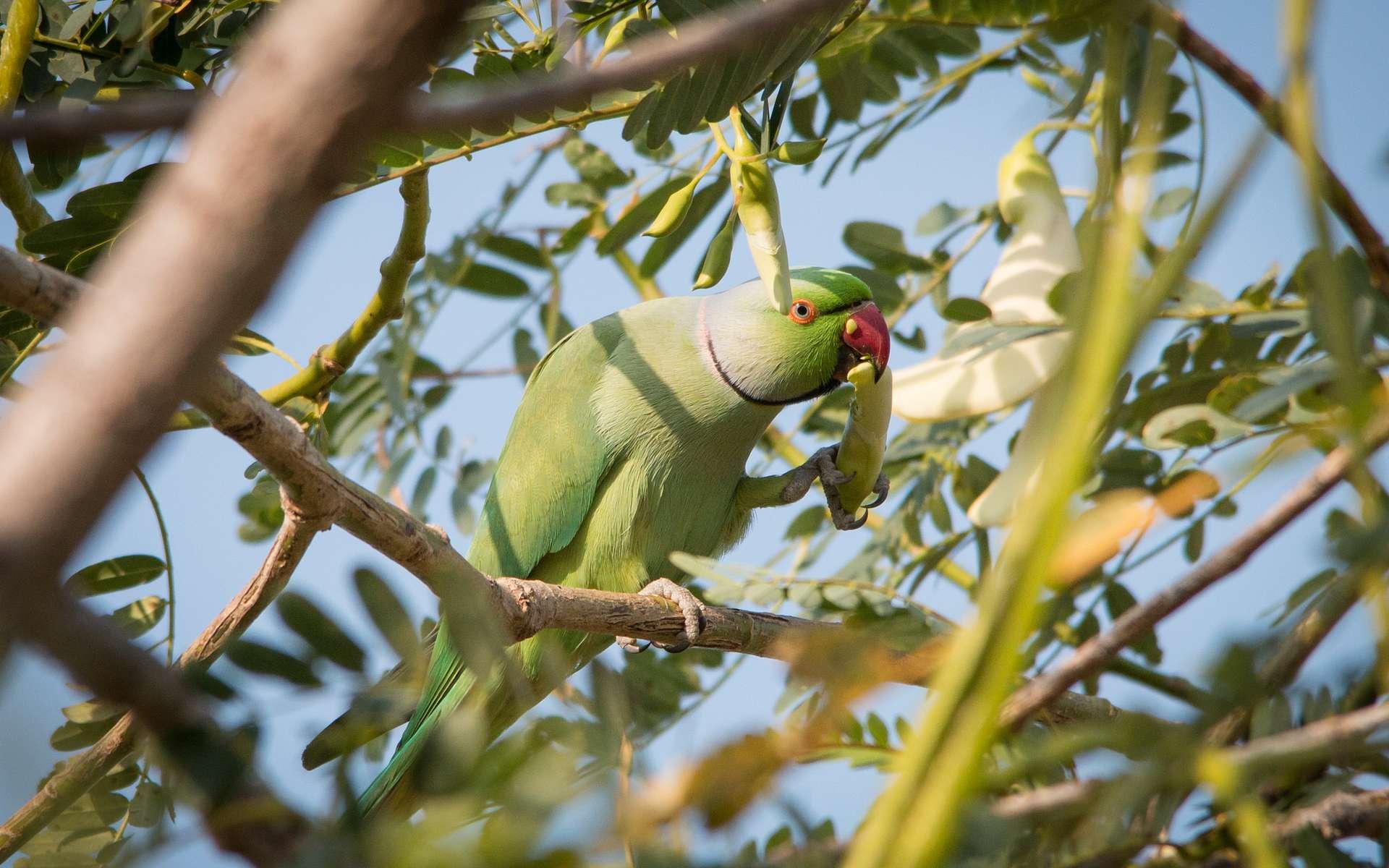 Les perroquets aussi se droguent à l'opium. © Peter Steward, Flickr