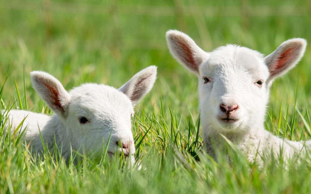 Les agneaux qui ont grandi dans l'utérus artificiel semblent tout à fait normaux. © Countrypixel, Fotolia