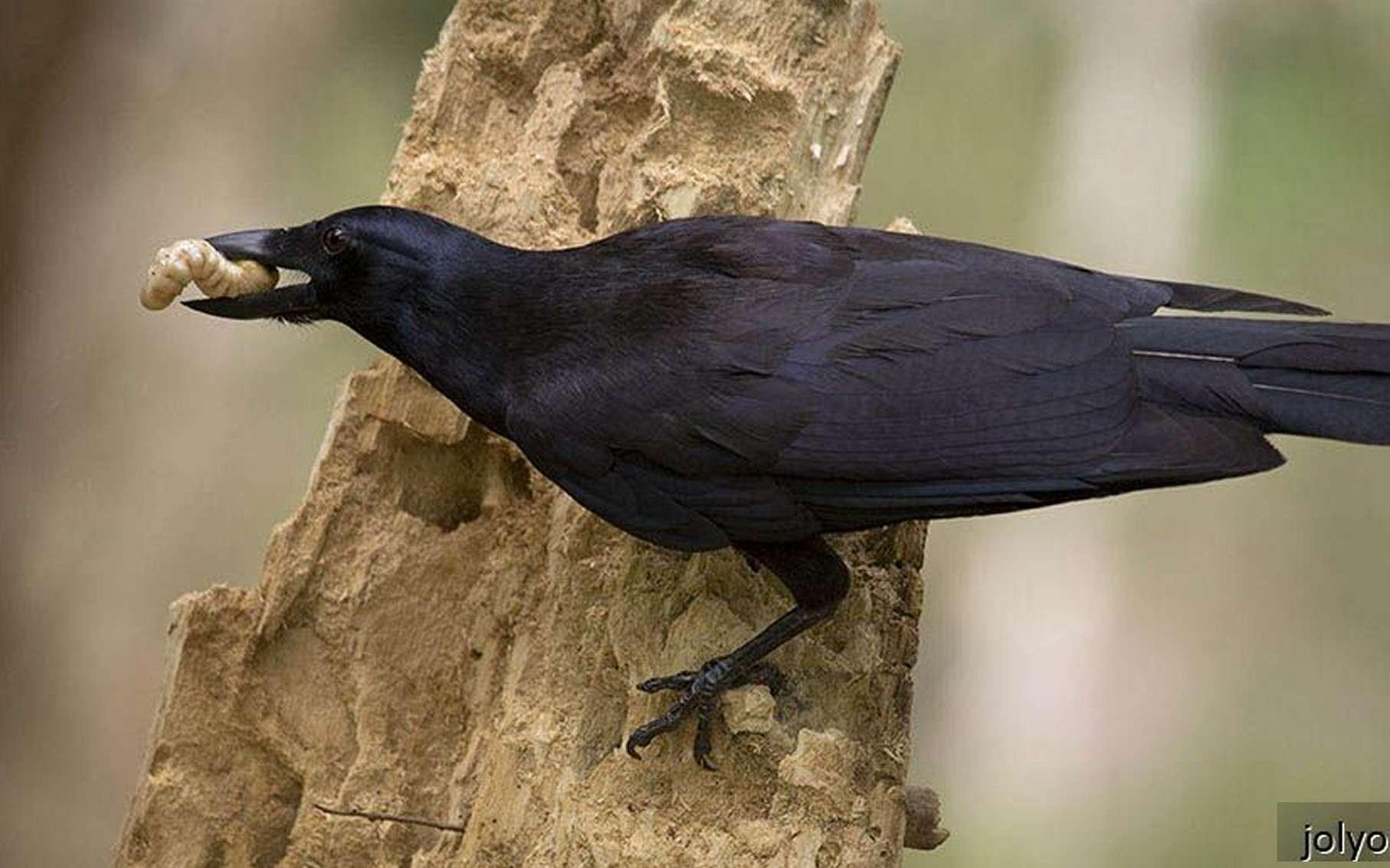 Le cerveau des oiseaux est petit mais dense en neurones. Ici, un corbeau de Nouvelle-Calédonie (Corvus moneduloides), une espèce étudiée notamment à l'université d'Auckland, est l'une de celles qui ont révélé les capacités cognitives des corvidés. © Jolyon Troscianko